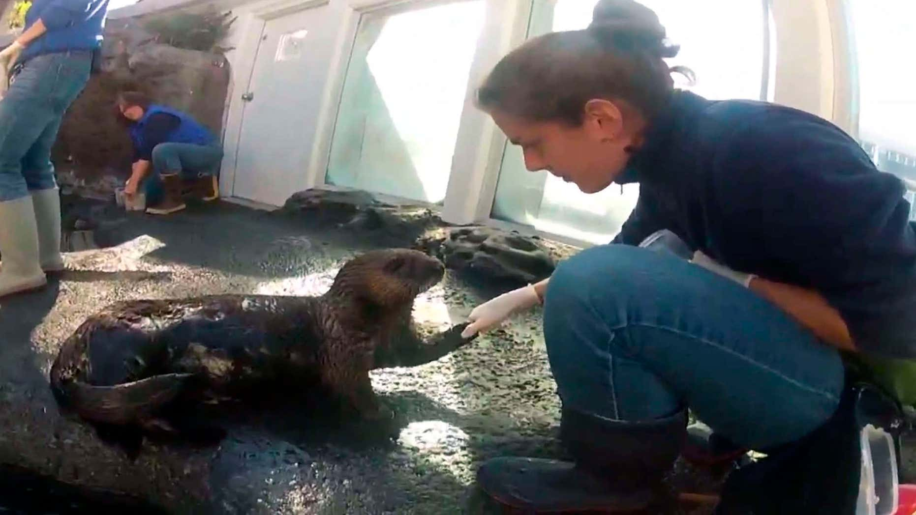 In this undated frame from video provided by KING-TV, Mishka's trainer, Sara Perry, reaches out to Mishka, the sea otter, at the Seattle Aquarium in Seattle.