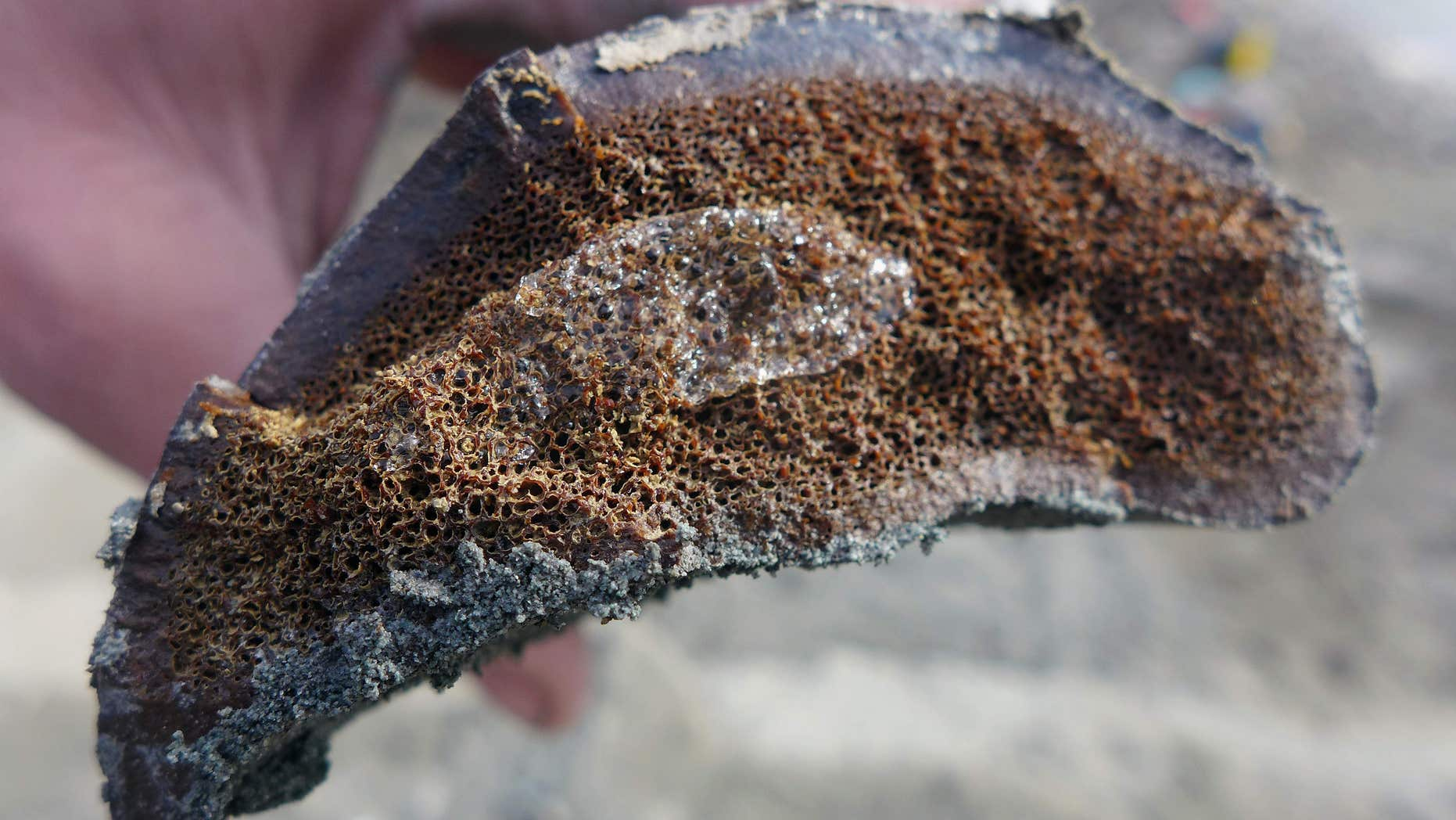 In this 2014 photo released by the University of Alaska Museum of the North, a sample of frozen bone is seen after researchers excavated it from the Liscomb Bed in the Prince Creek Formation near Nuiqsut, Alaska.
