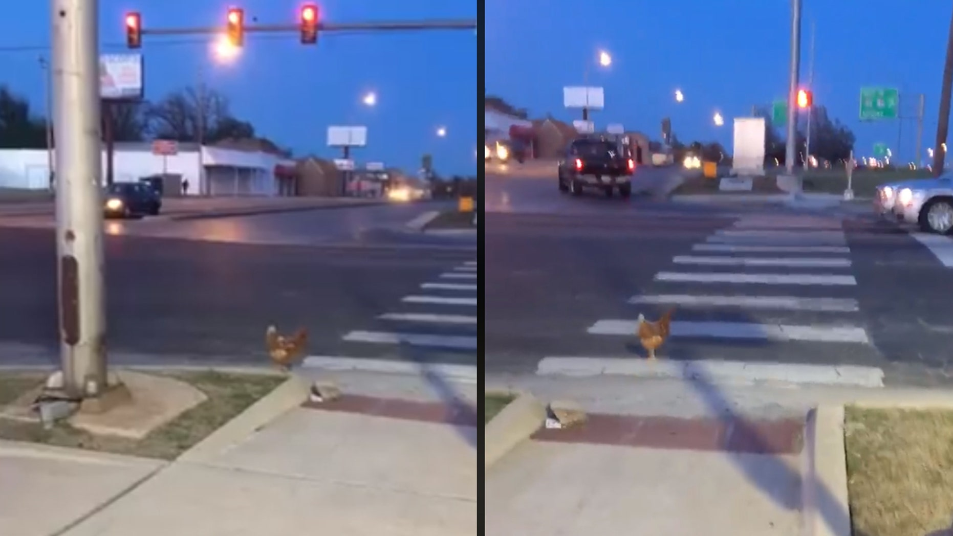 A chicken was caught on camera crossing the road in the crosswalk.