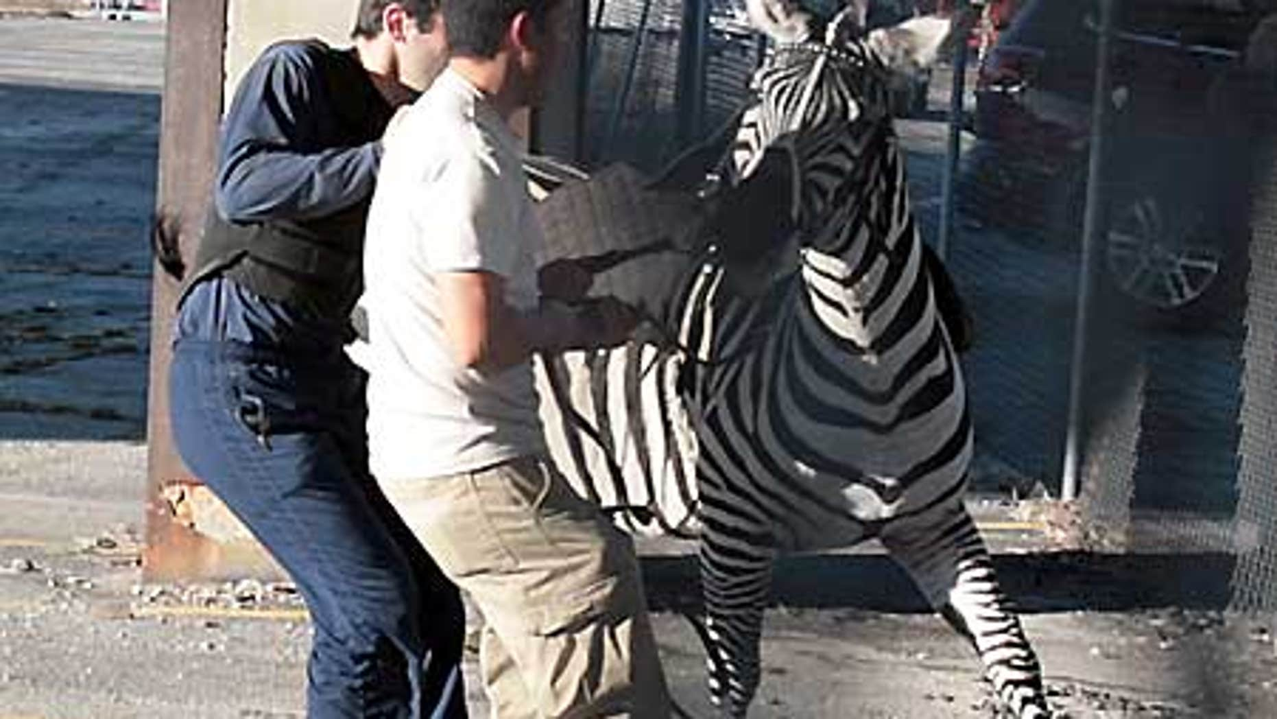 Feb. 18: Workers try to contain a zebra that broke loose from the Ringling Brothers and Barnum & Bailey Circus.