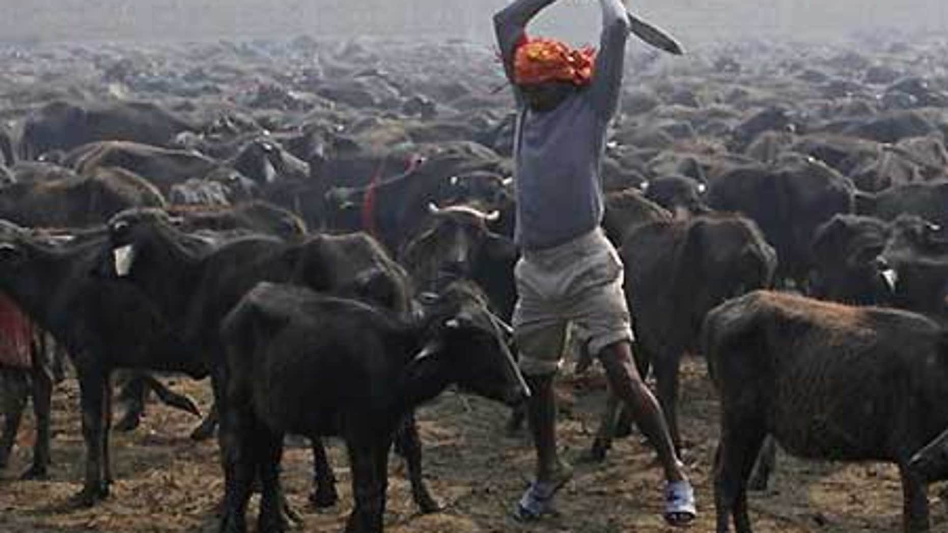 Nov. 24: A butcher prepares to slaughter a buffalo with his knife during a mass sacrifice ceremony at Gadhimai temple in Bariyapur, Nepal.