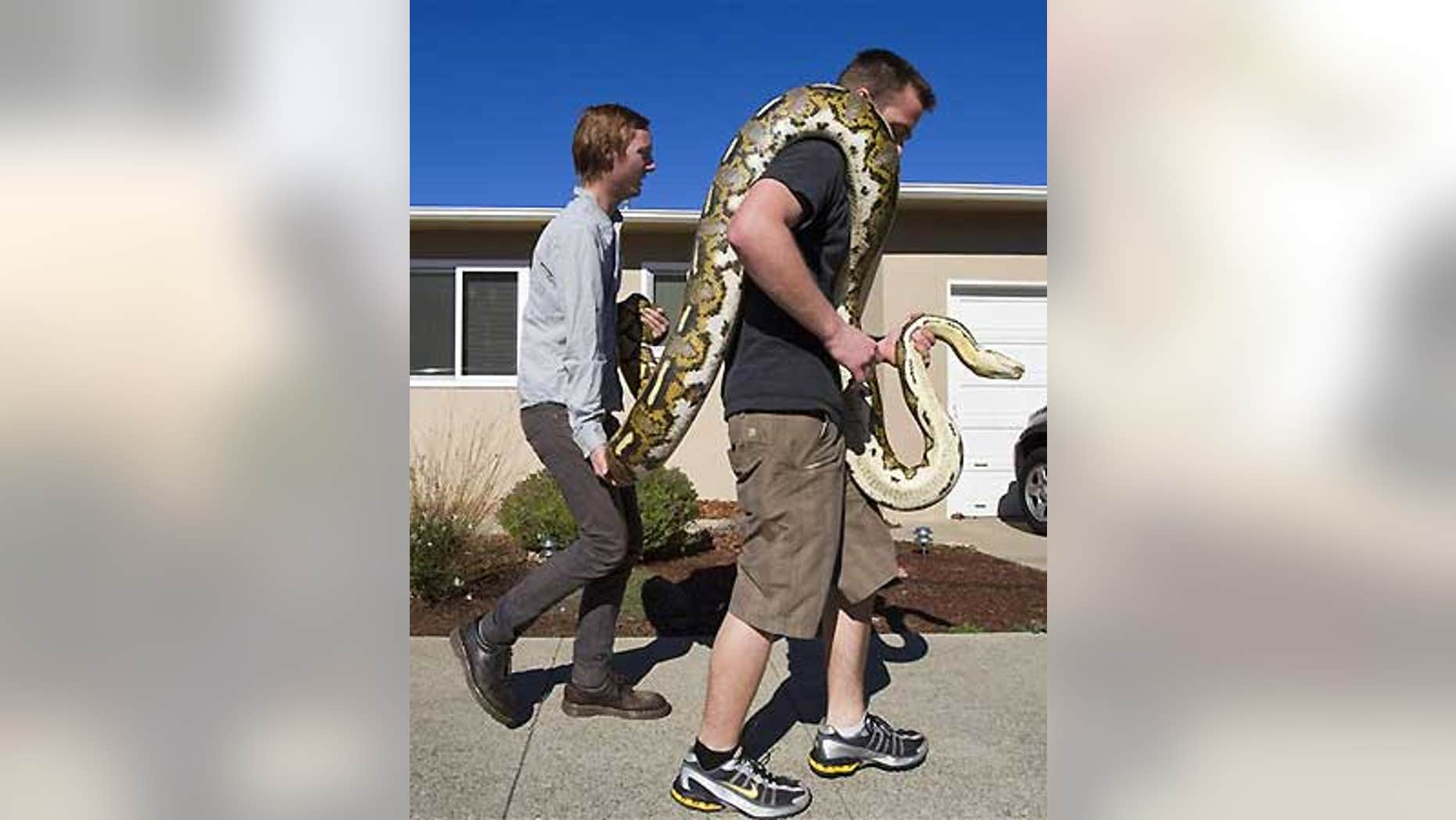 Feb. 2: Brandon Dennis, right, and his friend Elliott Barringer carry Dennis' pet python back home after she escaped from his Ramona Drive house.