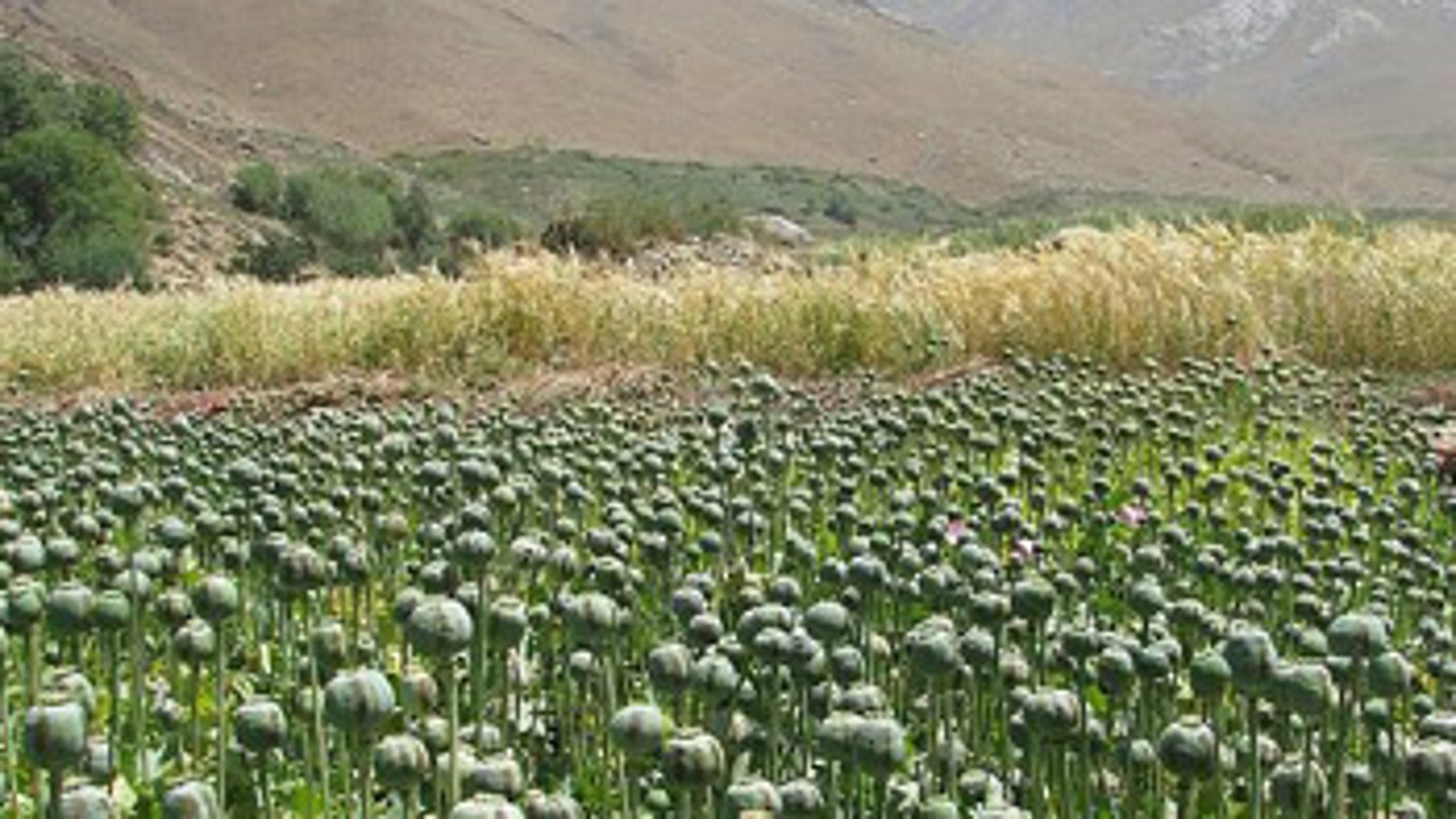 Opium poppies: Blooming financial support for the Taliban