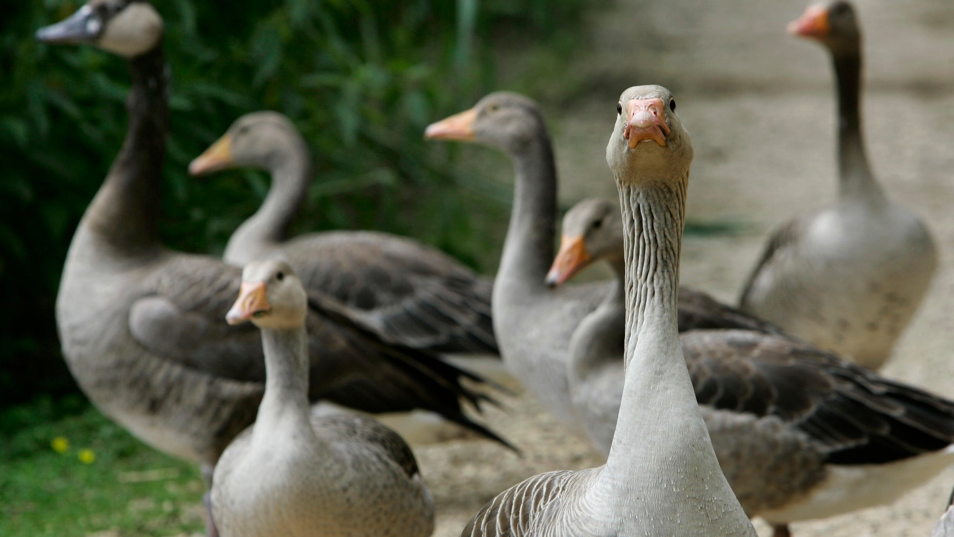 Geese are pictured next to the lake Woehrder in Nuremberg June 24, 2007. The deadly strain of the bird flu virus has resurfaced in Germany in the bodies of at least three dead birds found in the state of Bavaria, Germany's first confirmed cases this year, officials said on Sunday.