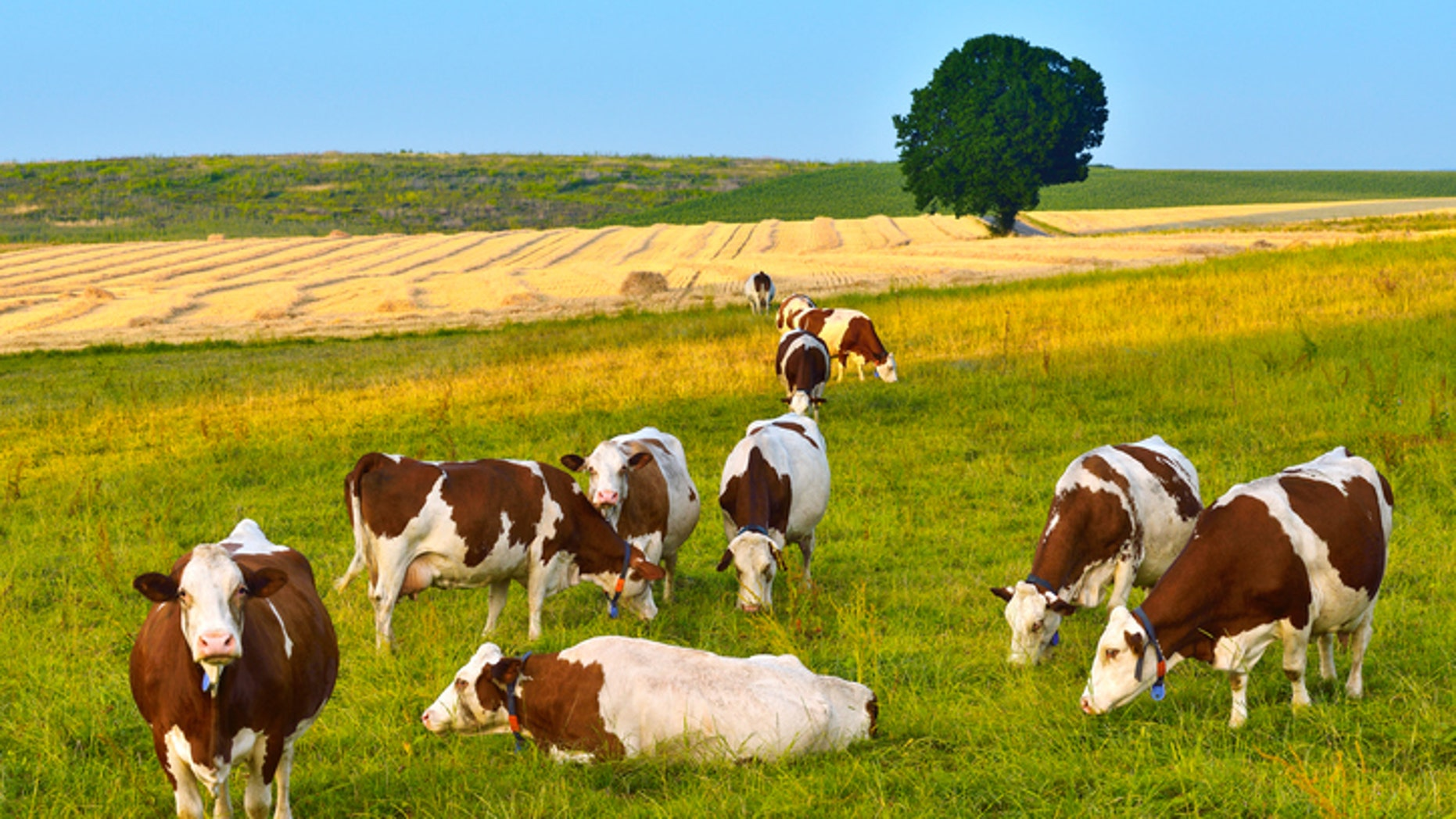 Cows herd on the grassy field at sunset.