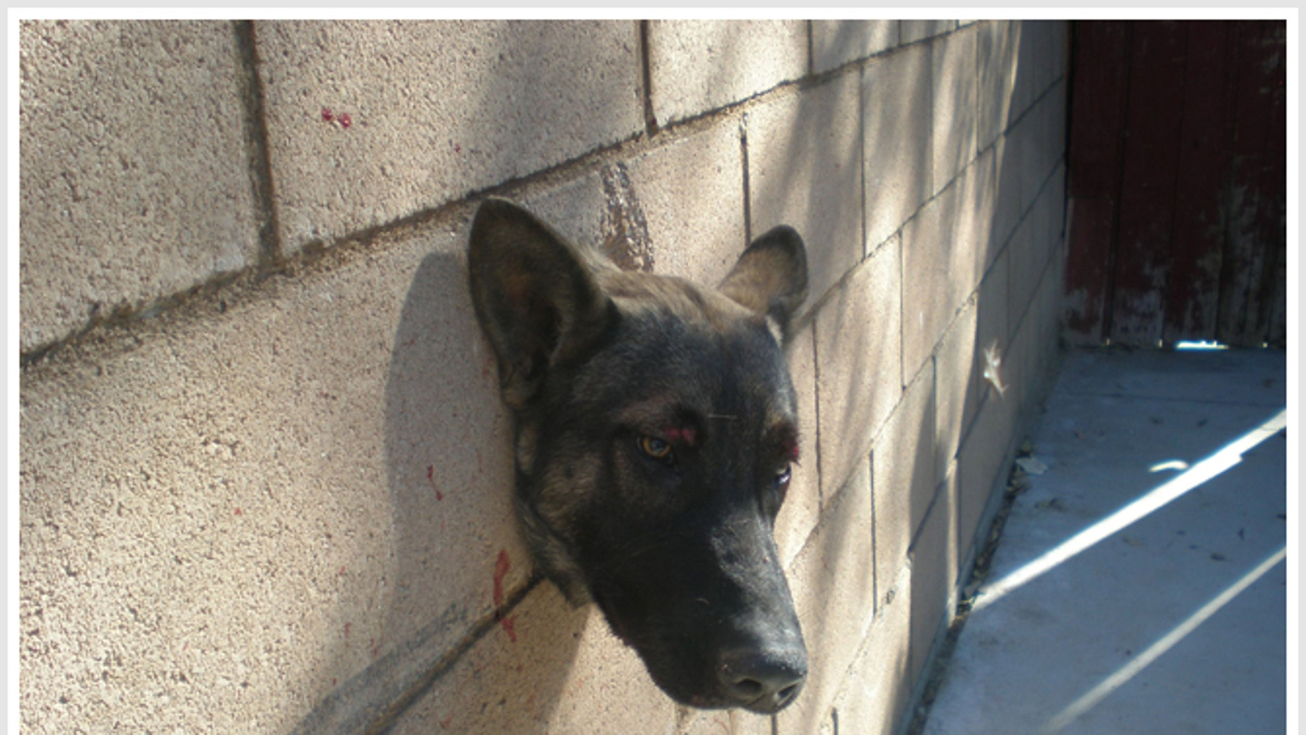 Dec. 27, 2010: Riverside County, Calif., Animal Services were called to a home to free a German Shepherd stuck in a hole in a wall.