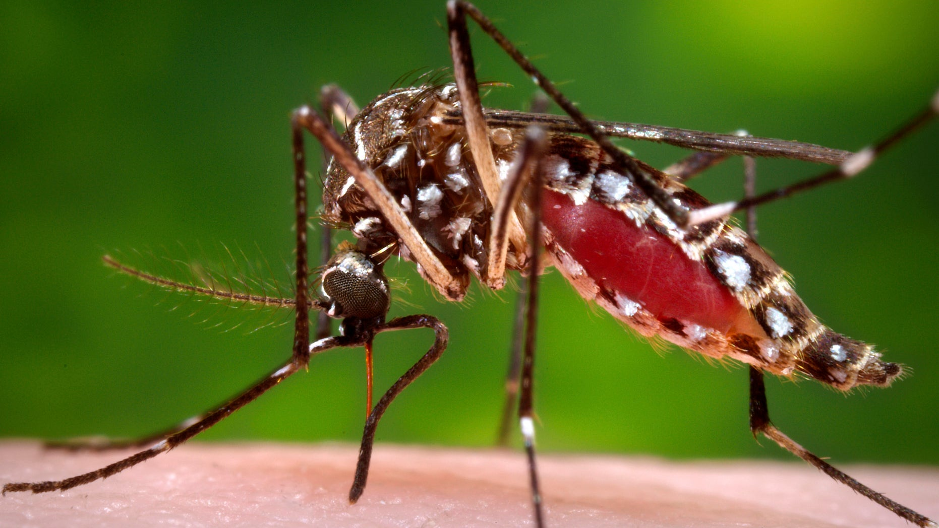 The Aedes aegypti  mosquito, shown here, is one type of mosquito capable of infecting people with dengue fever.  (REUTERS/James Gathany/CDC/Handout via Reuters)