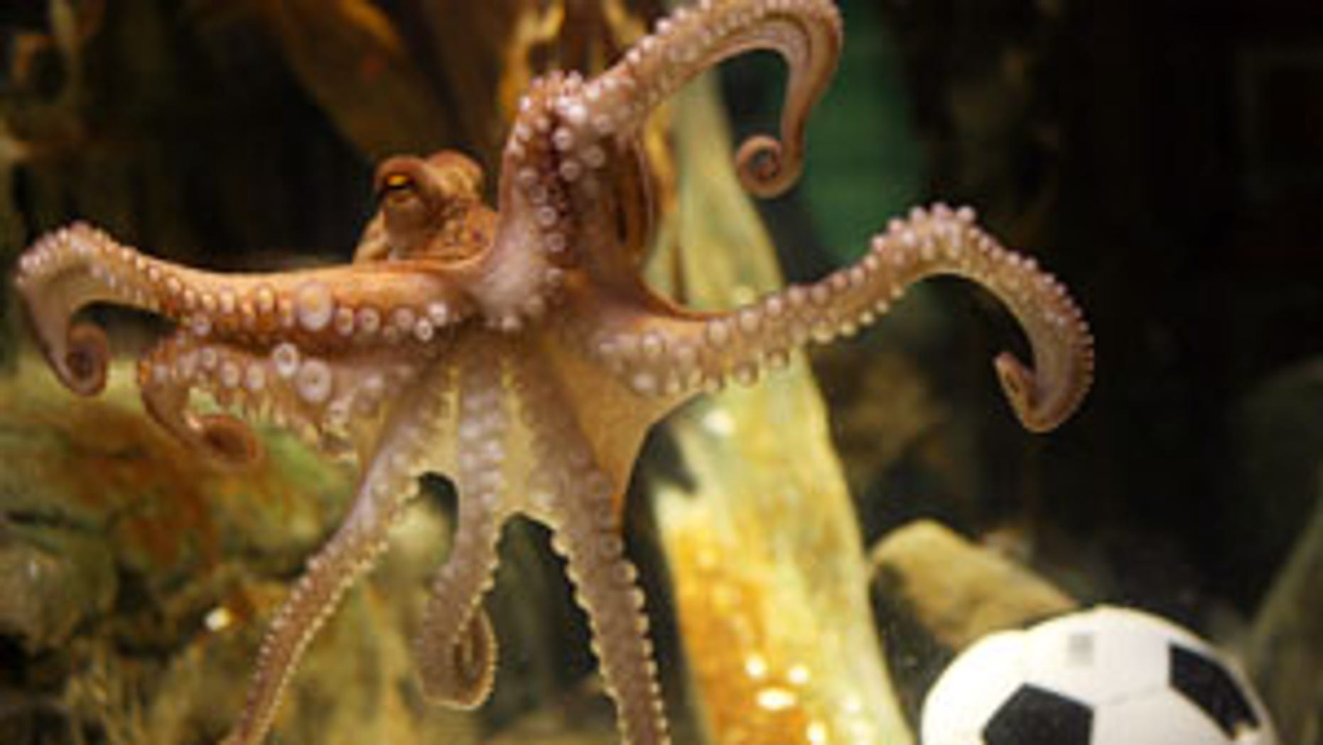 """An octopus named Paul swims past a football in his aquarium on July 9, 2010 at the Sea Life aquarium in Oberhausen, western Germany. Paul, the """"psychic"""" octopus with a perfect prediction record, decided Spain will win the football World Cup for the first time in their history. The eight-legged oracle, who has become a World Cup sensation by correctly predicting all six Germany games, very quickly plumped for Spain  carried live on national German television.         AFP PHOTO / PATRIK STOLLARZ (Photo credit should read PATRIK STOLLARZ/AFP/Getty Images)"""