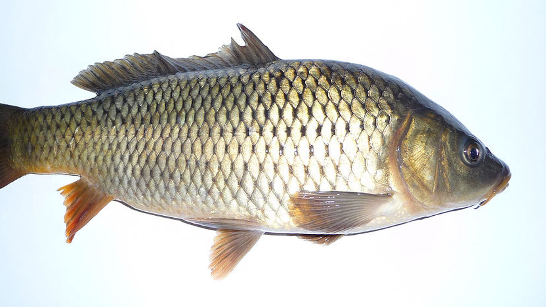 The Australian government is trying to eradicate carp in its waterways.
