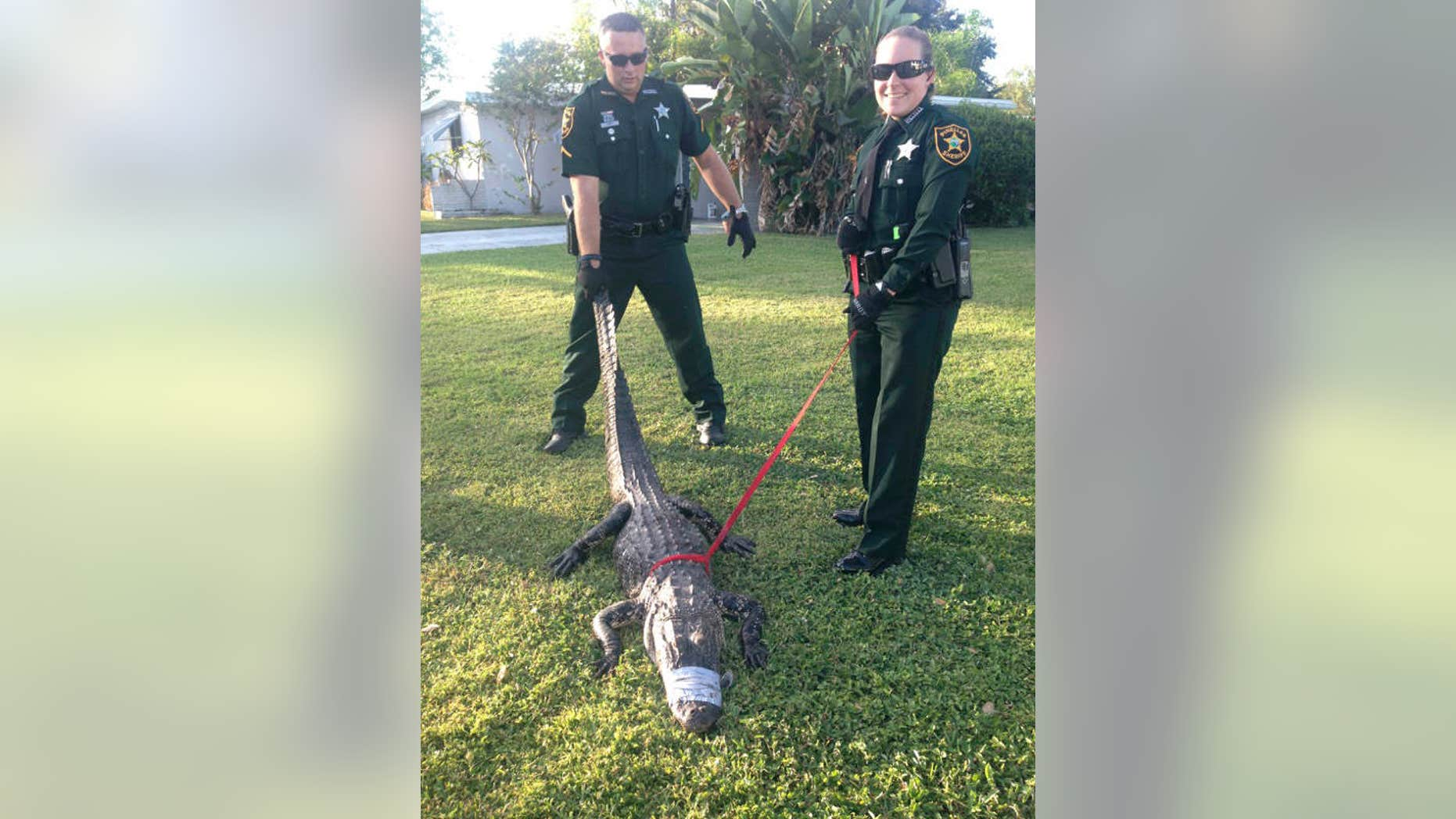 Oct. 23, 2015: In this undated photo provided by the Pinellas County Sheriff's Office, two deputies hold an alligator that had been stuck in a storm drain in Seminole, Fla.