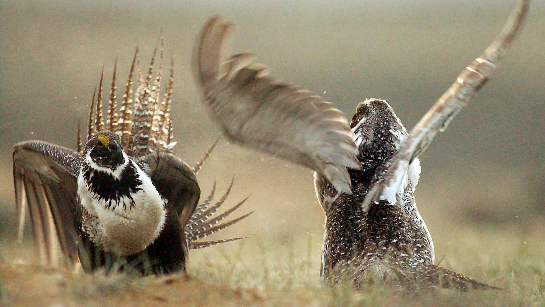 FILE - In this May 9, 2008 file photo, male sage grouses fight for the attention of female southwest of Rawlins, Wyo.