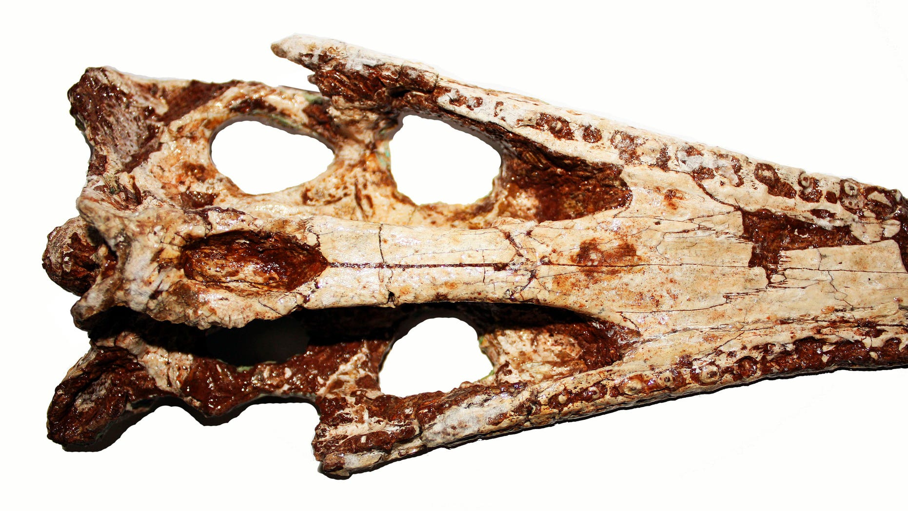 Nov. 25: In this undated photo released during a news conference in Bangkok, Thailand, by the Northeastern Research Institute of Petrified Wood and Mineral Resources, the skull of an ancient crocodile which was dug in Nakhon Ratchasima, northeastern Thailand in 2006, is shown from the top.