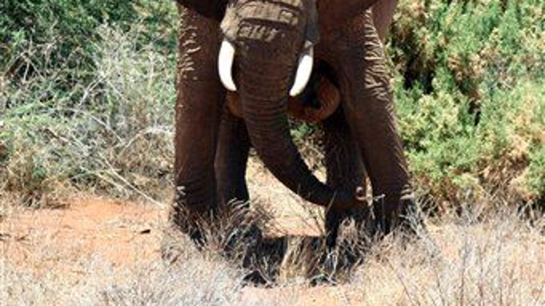 In this file photo, an elephant shakes its head on hearing the sound of bees in Samburu National Park in Kenya.
