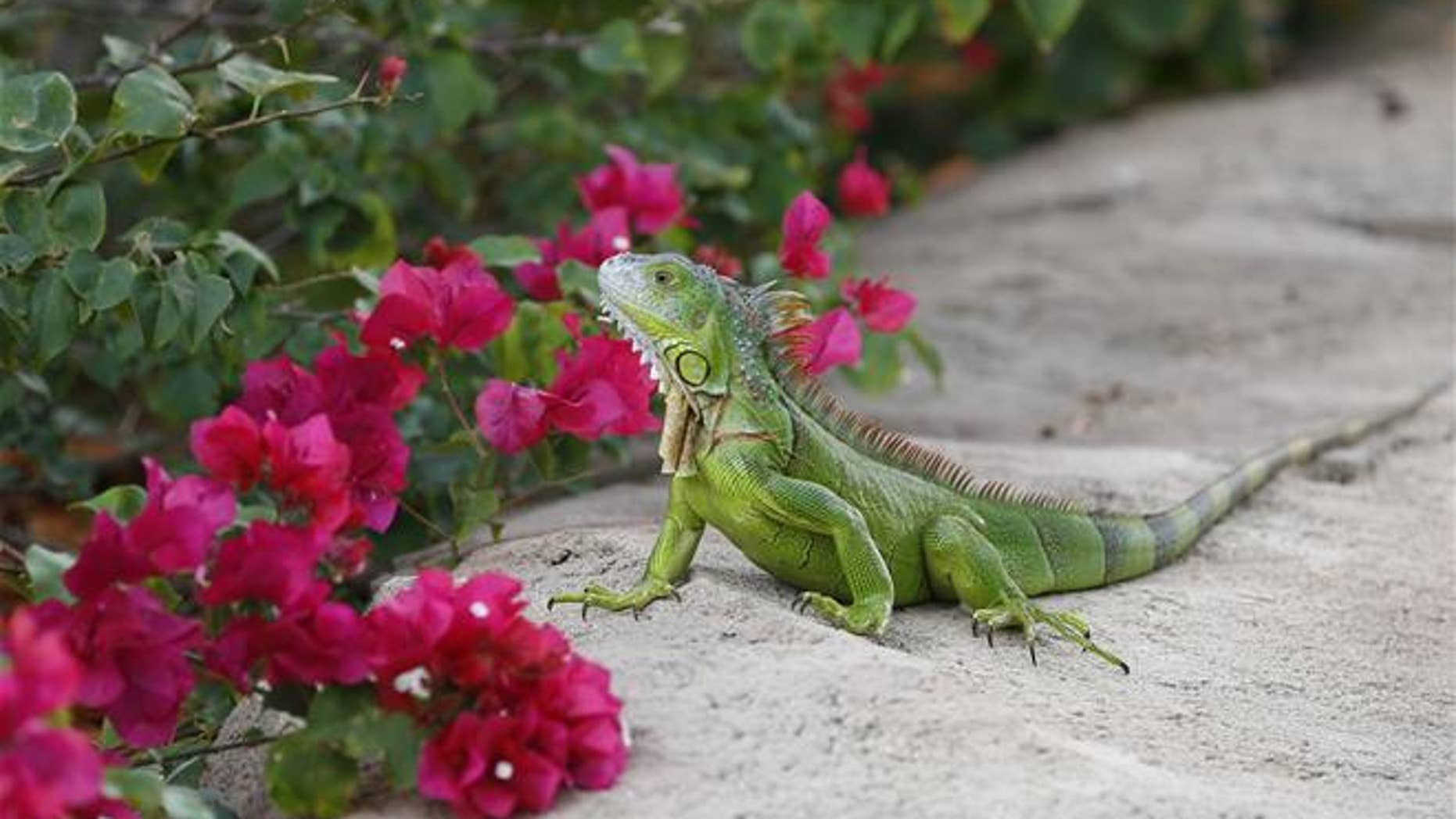 A green iguana checks out the flowers on a Bougainvillea plant in Hollywood, Fla.