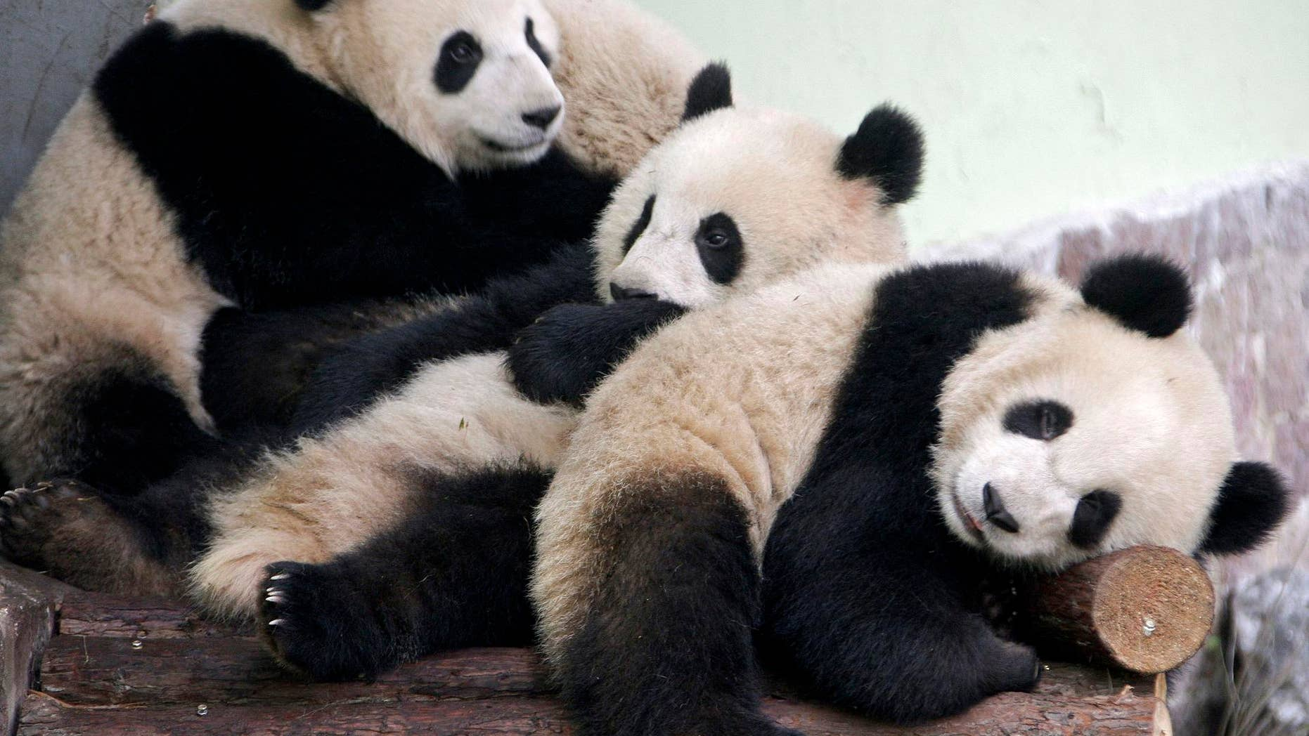 In this photo taken Wednesday, Jan. 20, 2010, panda cubs from the Wolong Giant Panda Reserve Center in Sichuan are seen in a Shanghai zoo, in China. Ten giant panda cubs, all born after the deadly earthquake that hit China's Sichuan province in 2008, were sent to Shanghai to go on display during this year's World Expo.