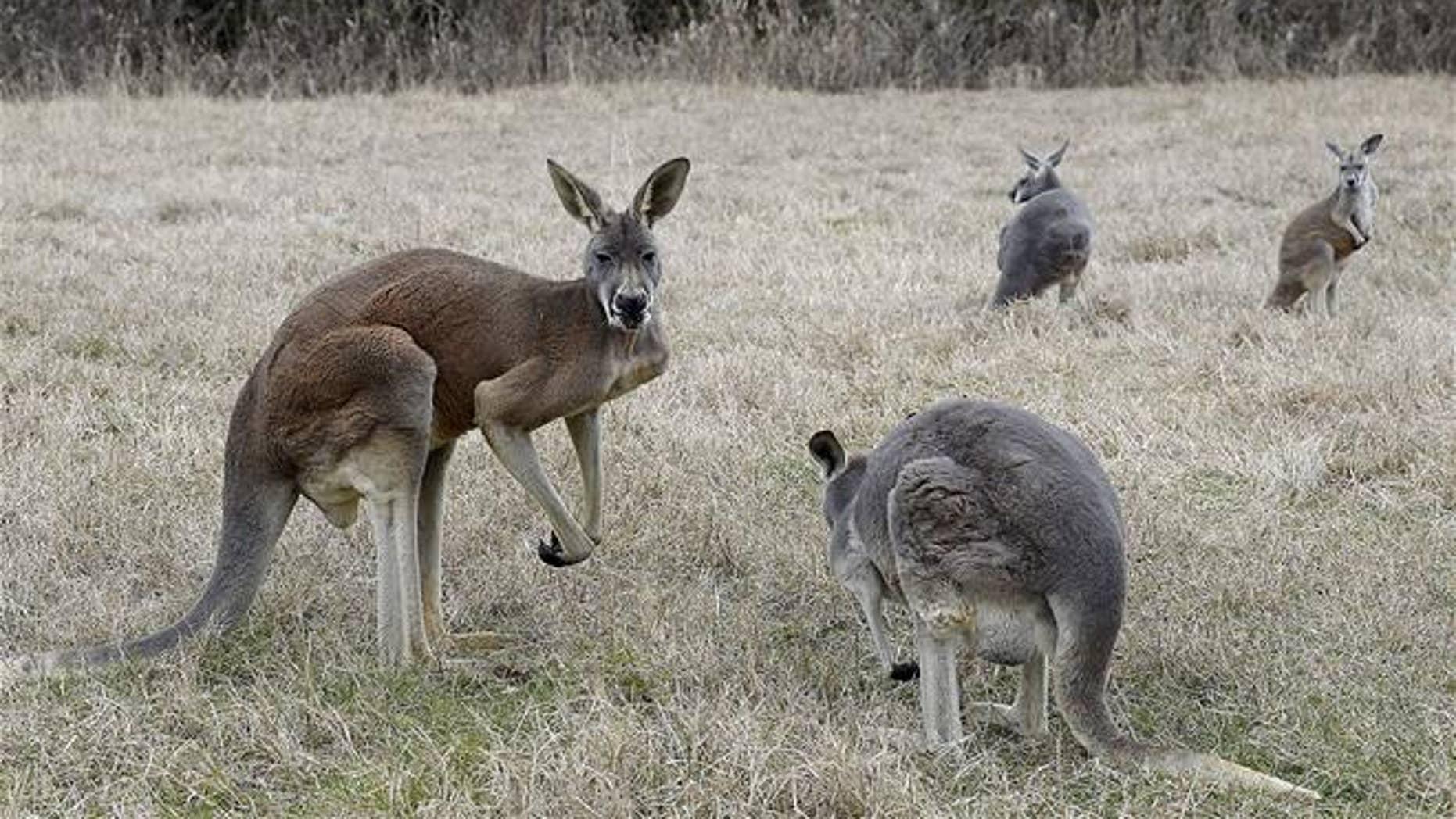 A file photo of kangaroos.