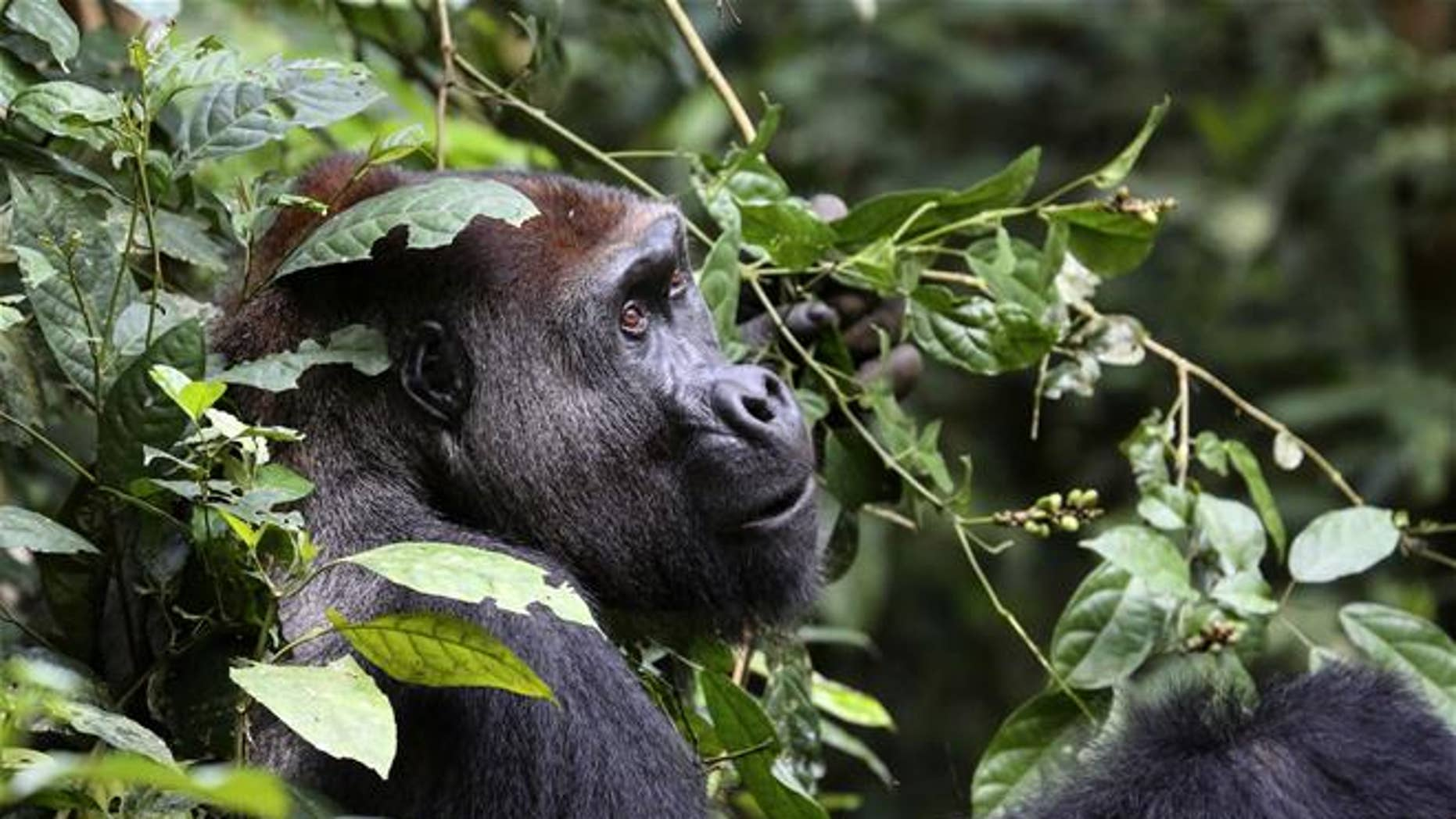 Researchers now estimate that there are more than 360,000 lowland gorillas in the wild in Western Africa. Previous estimates placed the population at 150,000 to 250,000.