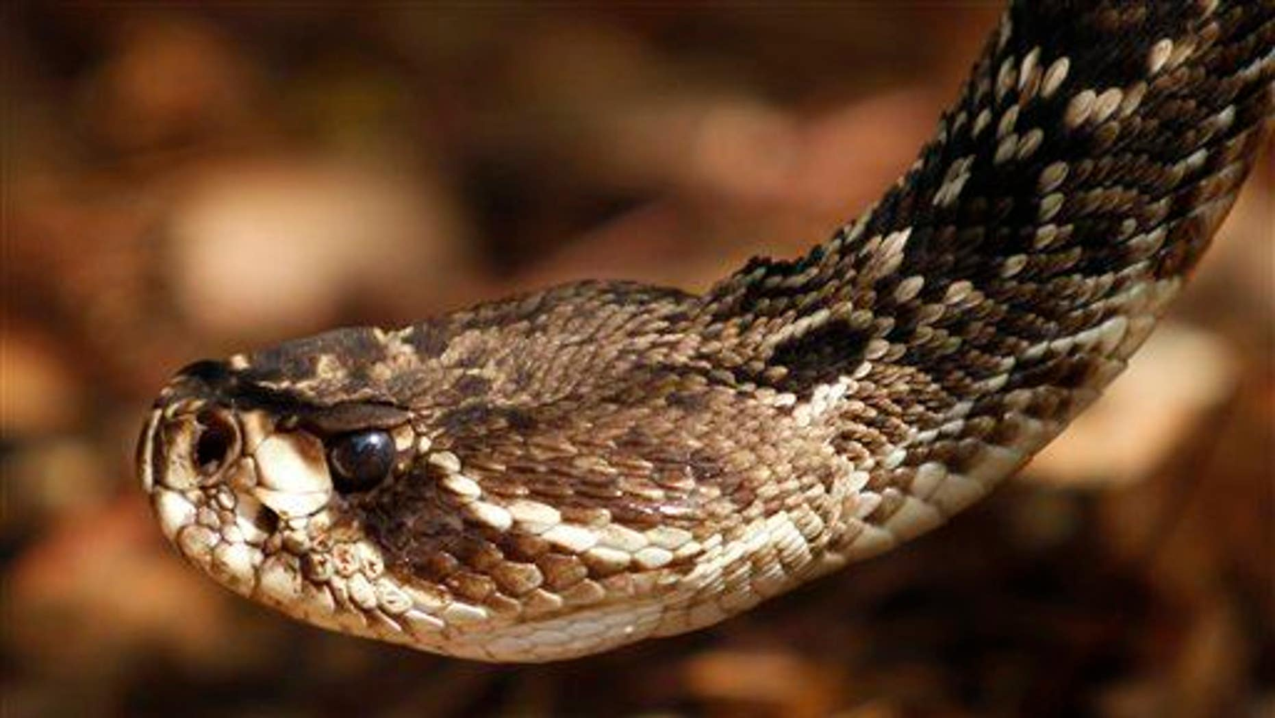 An eastern diamondback rattlesnake at the Phillip and Patricia Frost Museum of Science.