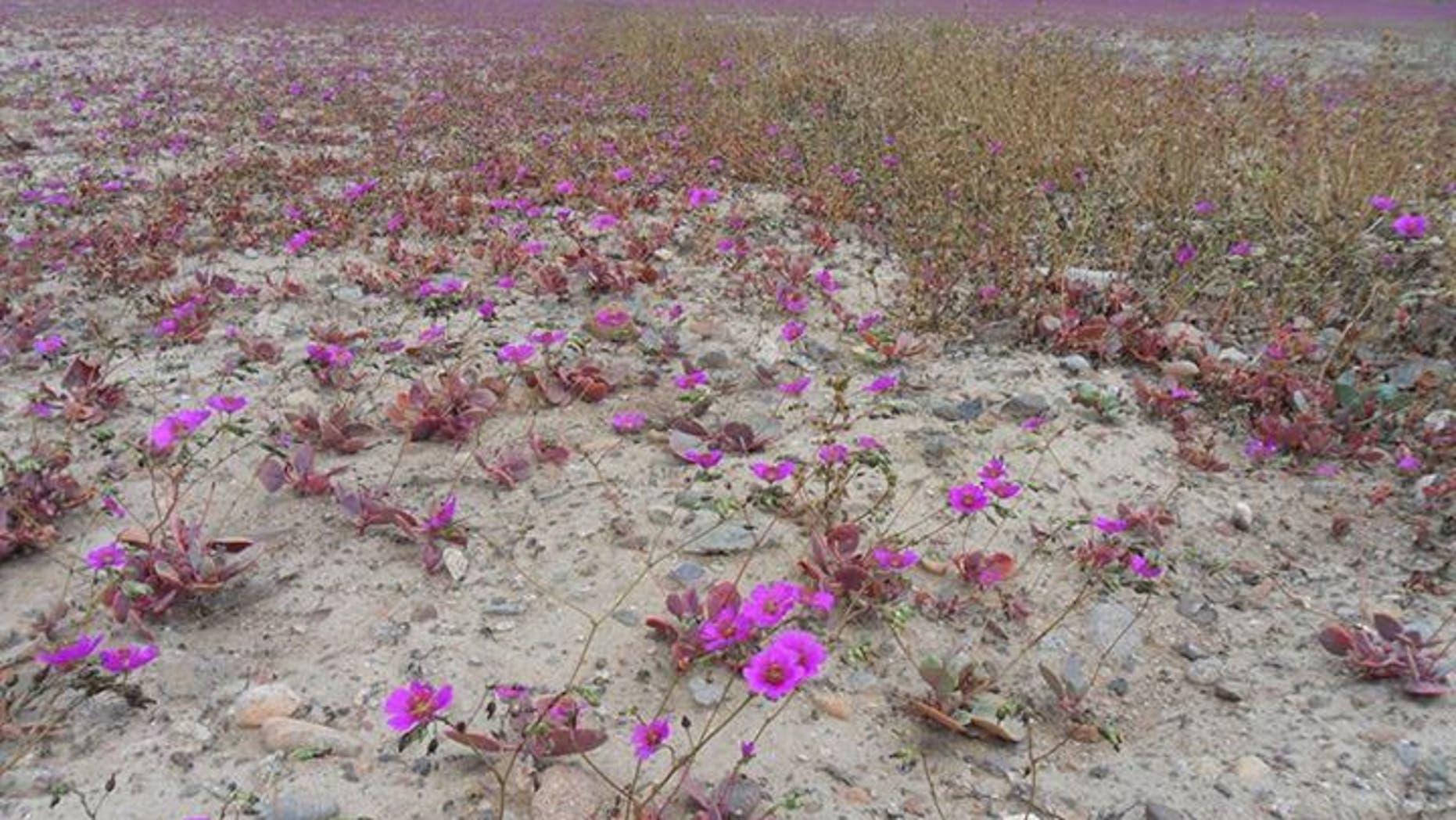 Wild flowers are covering huge stretches of the Atacama desert in Chile. (Photo Credit: Sebastéuo Fotografias)