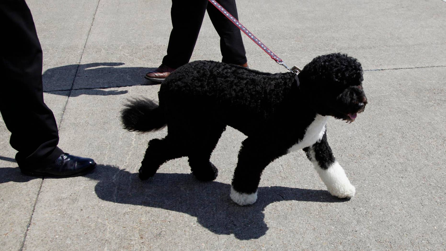 First dog Bo deplanes from Air Force One at the Cape Cod Coast Guard Air Station in Bourne, Mass., Thursday, Aug. 19, 2010, as he travel to Martha's Vineyard, Mass. (AP Photo/Carolyn Kaster)