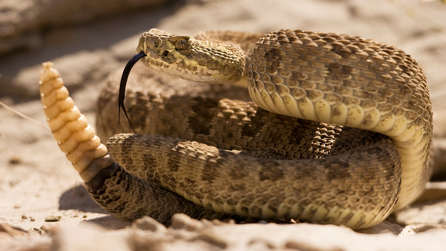 File photo: A prairie rattlesnake warns approaching hikers with a rattle of his tail in Dinosaur Provincial Park, Alberta in this picture taken August 7, 2008.