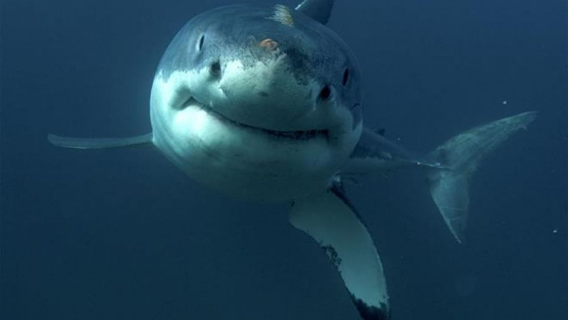 File photo of a great white shark.