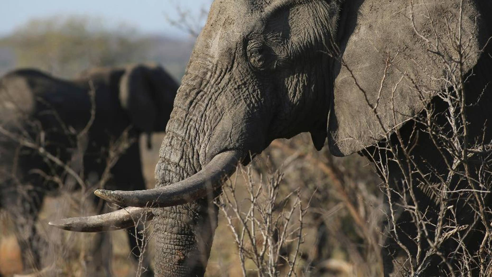 FILE - In this file photo taken Friday, Sept. 30, 2016, an elephant walks through the bush at the Southern African Wildlife College on the edge of Kruger National Park in South Africa. The Chinese government said in a statement released on Friday Dec. 30, 2016, it will shut down its official ivory trade at the end of 2017 in a move designed to curb the mass slaughter of African elephants.(AP Photo/Denis Farrell, FILE)