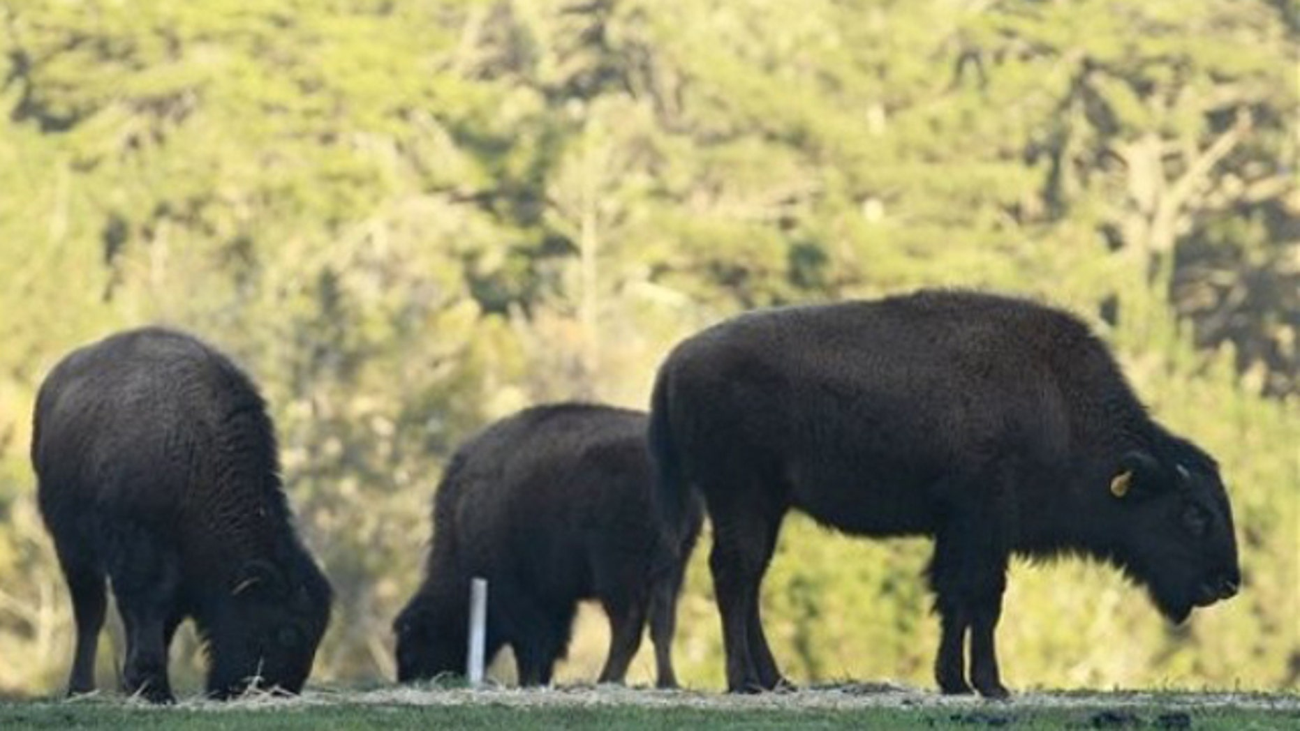 Young bison are shown at the Golden Gate Park Buffalo Paddock in San Francisco, Thursday, Jan. 5, 2012. San Francisco officials are blaming an off-leash dog for the death of a baby bison found injured in its enclosure at Golden Gate Park. The San Francisco parks department says the bison was found with a laceration on its side and three broken ribs Wednesday morning. (AP Photo/Jeff Chiu)