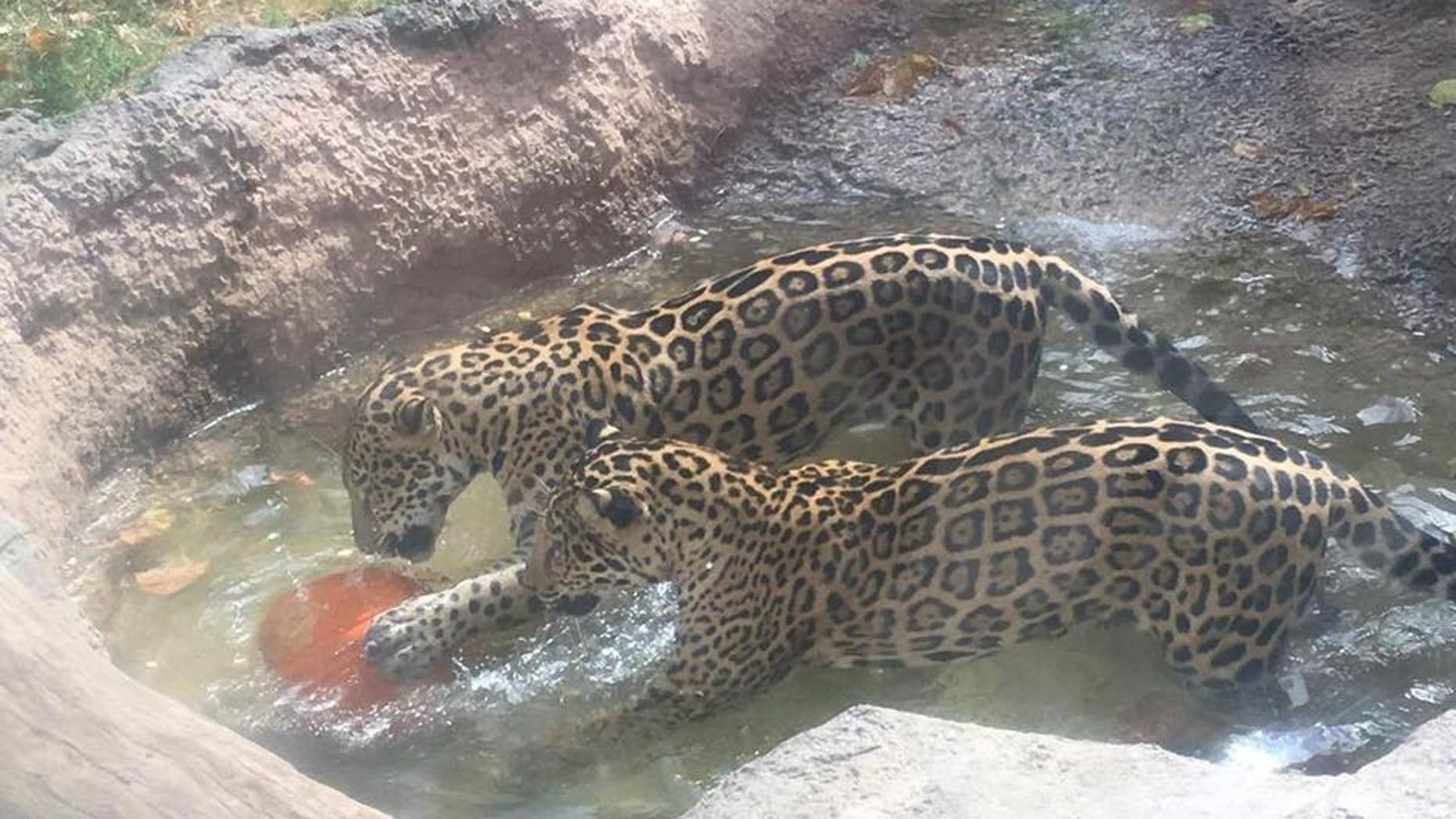 Estrella, one of the jaguars at Abilene Zoo in Texas, escaped its pen and attacked a spider monkey at a nearby exhibit on Monday.