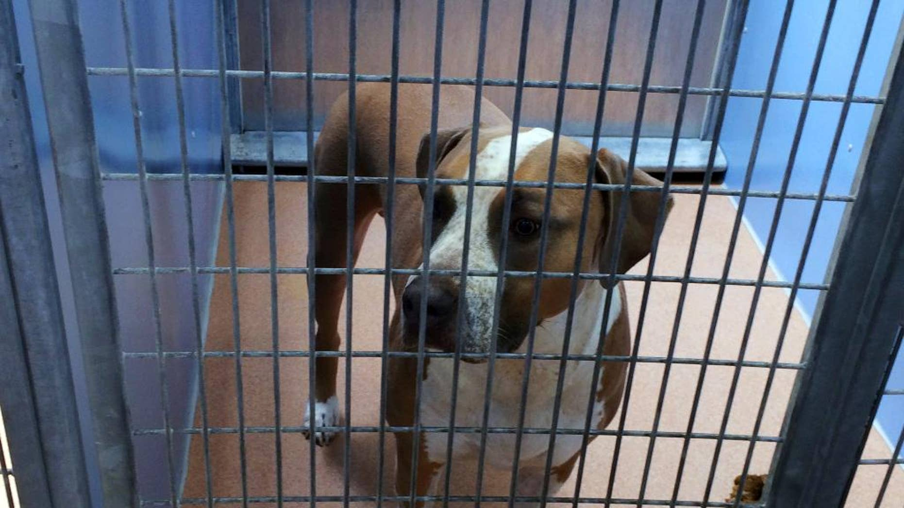 This photo provided by the San Diego County Department of Animal Services shows a male American Staffordshire terrier-mix named Polo, in their custody after it mauled to death a 3-day-old boy, police said Friday, April 22, 2016. The parents were in bed watching TV with their newborn son and dog Thursday night when the mother coughed. The coughing startled the dog and it unexpectedly bit the baby, Sgt. Tu Nguyen said. (San Diego County Department of Animal Services via AP)