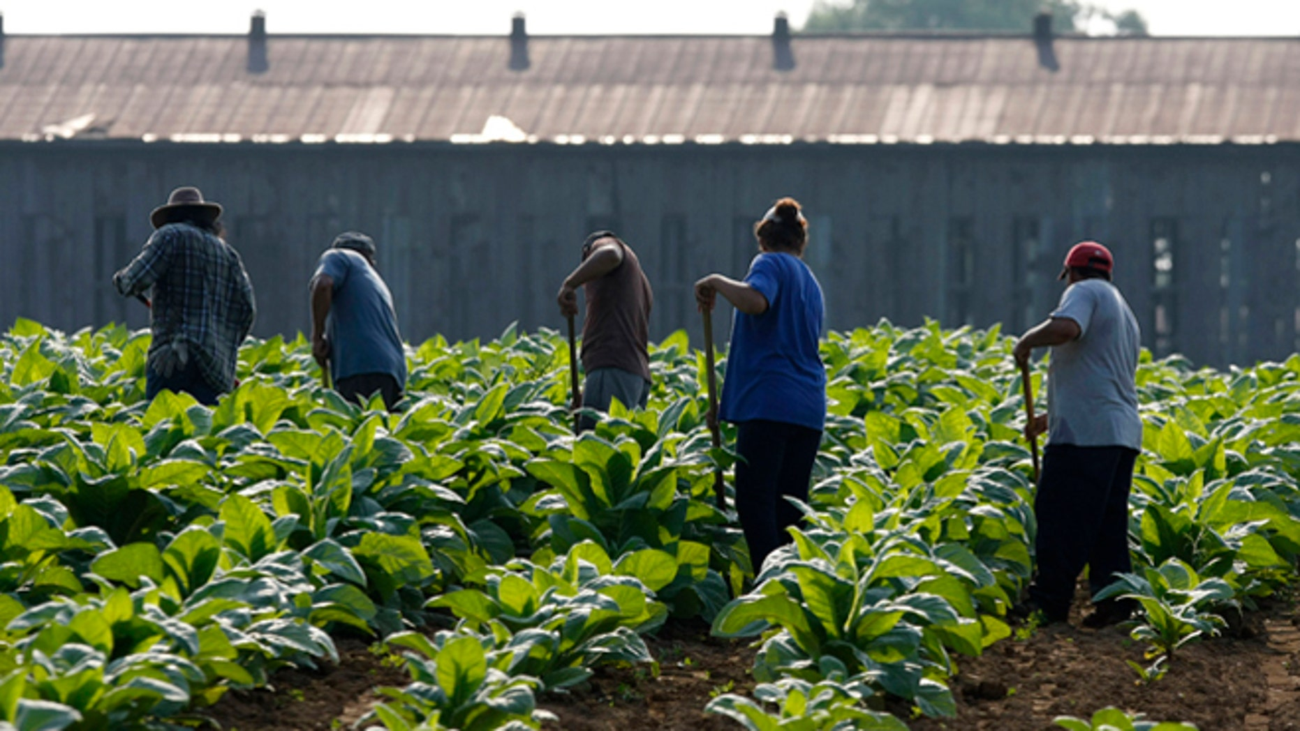 In front of the backdrop of the barn in which the burley will be stored, a group of farm workers makes their way across a tobacco field hoeing weeds out of the rows in the early morning Monday, July 11, 2011, near Sparta, Ky. Much of Kentucky is expected to be hit with high heat throughout the week.  (AP Photo/Ed Reinke)