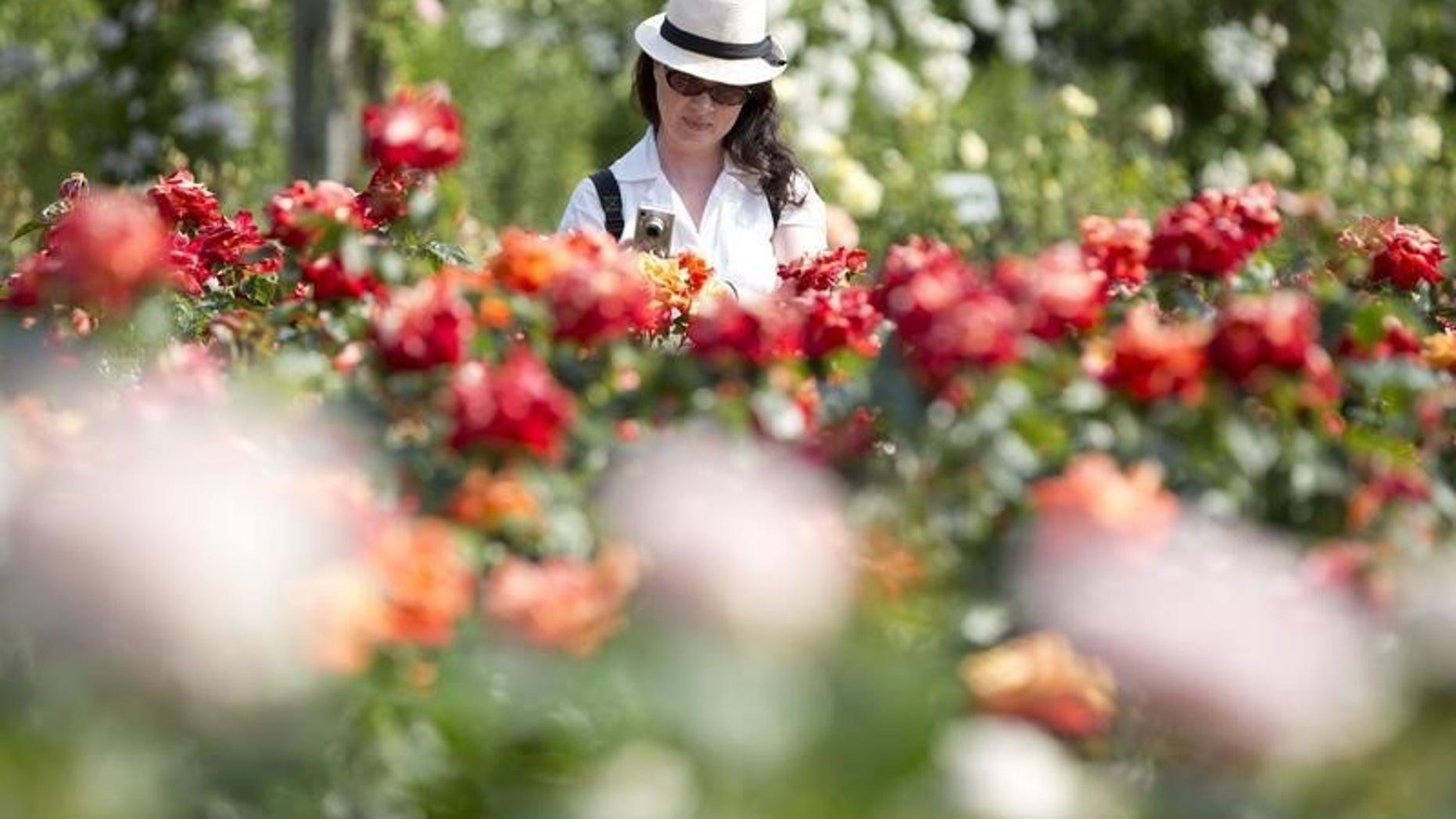 A woman photographs roses at Regent's Park in London July 5, 2013. REUTERS/Neil Hall