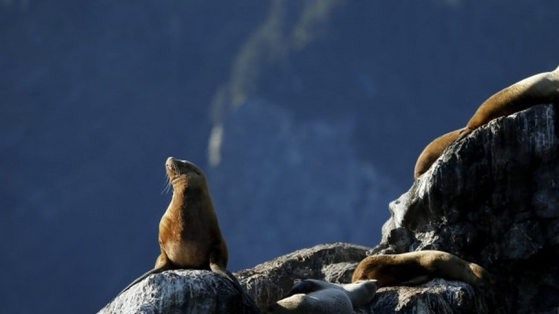 Sea lions bask on a rock as U.S. President Barack Obama (not pictured) takes a boat tour of Kenai Fjords National Park in Seward, Alaska September 1, 2015. REUTERS/Jonathan Ernst