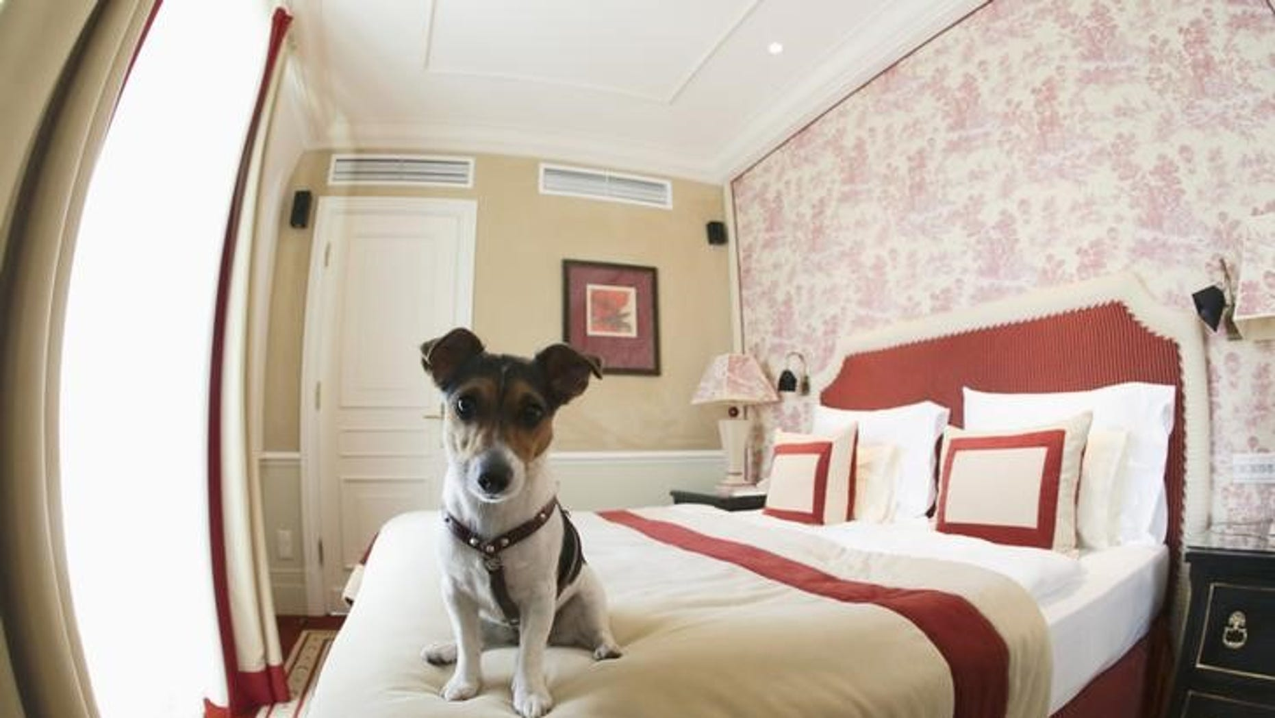 One-and-a-half-year-old Jack Russell Terrier, Ella, sits on a bed at Hotel Sacher in Vienna July 30, 2013. REUTERS/Leonhard Foeger