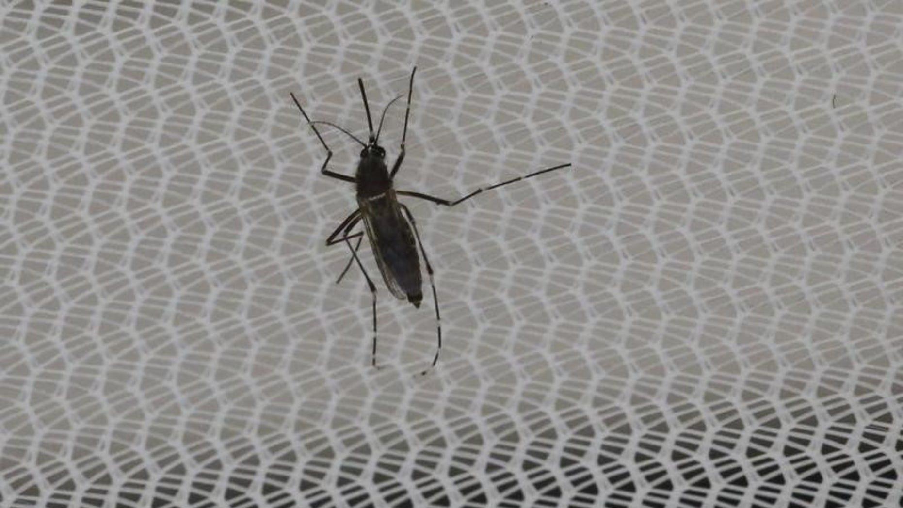 An Aedes aegypti mosquitoe is seen inside the IAEA laboratory in Seibersdorf