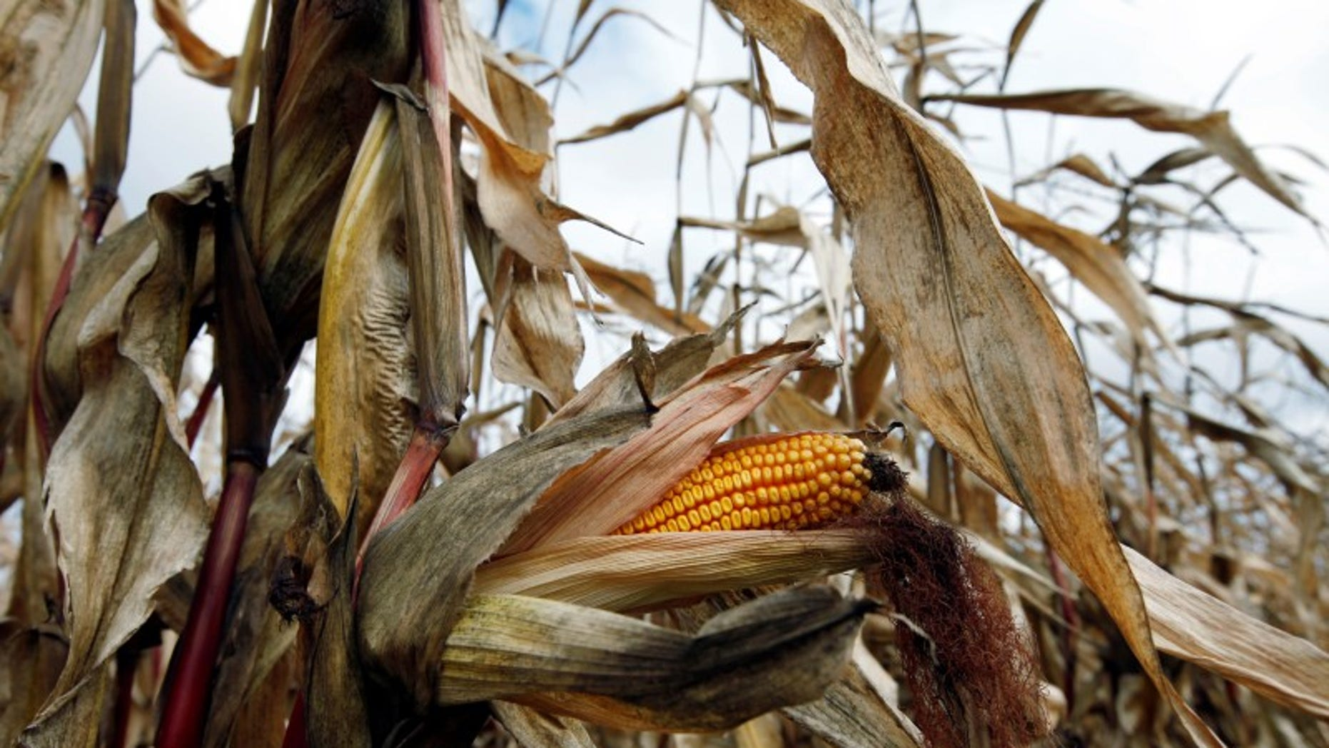 A field of corn is seen in Embrun, Ontario