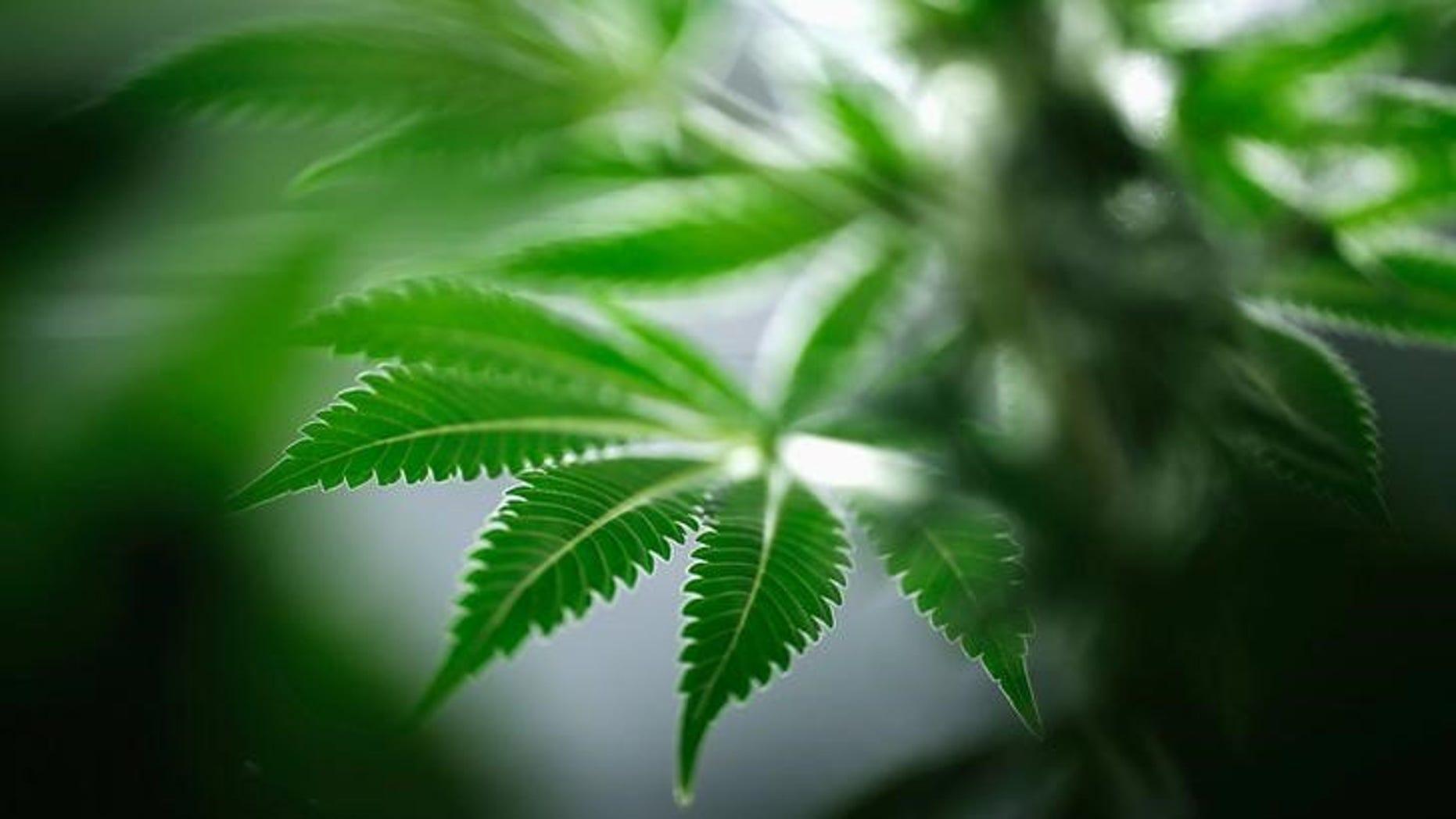 A marijuana plant is seen at Tweed Marijuana Inc in Smith's Falls