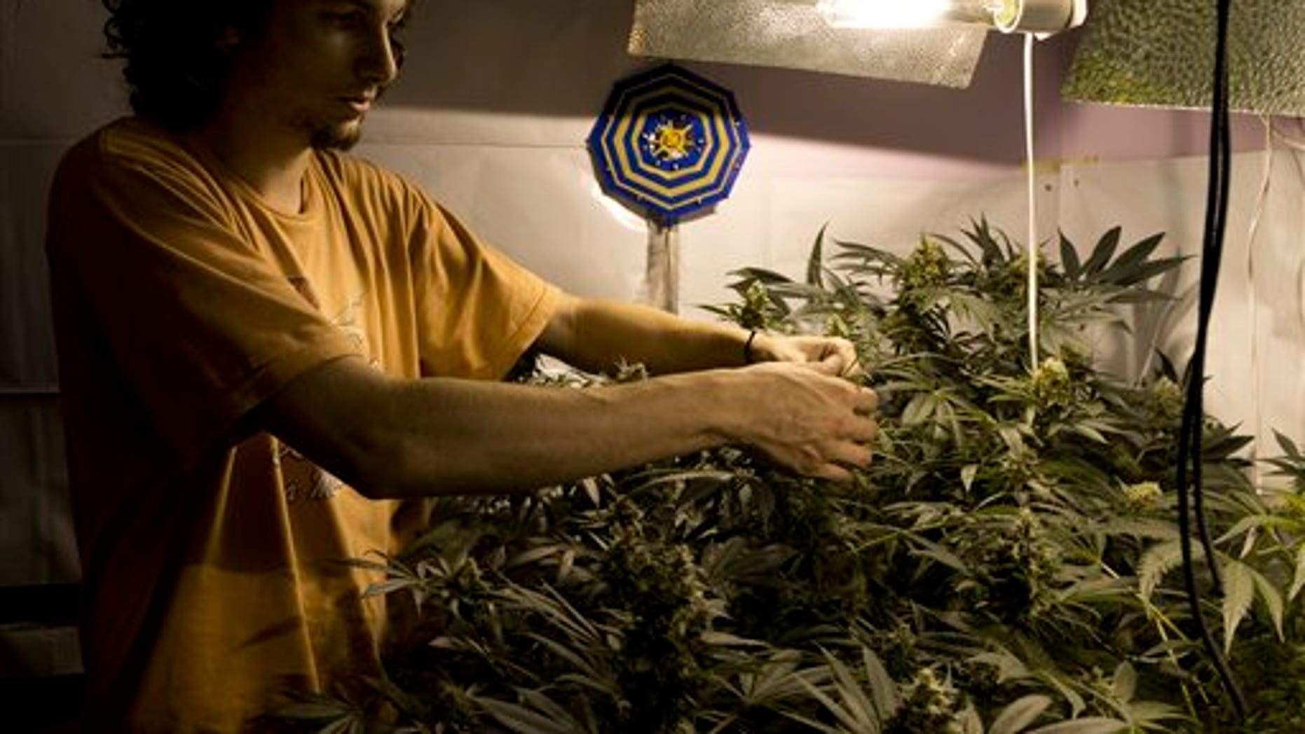 Juan Palese, a marijuana grower, shows his crop outside of Montevideo, Uruguay, Wednesday, Dic. 18, 2013. Julissa Reynoso U.S. Ambassador to Uruguay said during an exchange of opinions with Uruguayan Senator Luis Gallo, that the U.S. government is worried that the legalization of marijuana for recreational use will create an opening for organized crime to infiltrate the Uruguayan legal market. Meanwhile the Defense Minister of Uruguay Eleuterio Fernández Huidobro said that the new legal framework was necessary to end The War on Drugs lead by the Unites States. (AP Photo/Matilde Campodonico).