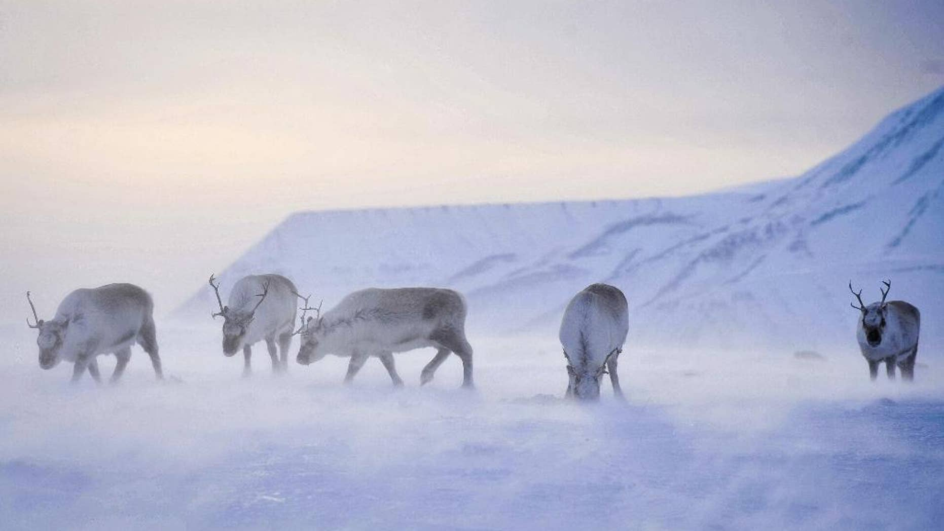 FILE _ This is a April 20, 2011 file photo of wild reindeer foraging for food on the island of Spitsbergen which is part of the Svalbard archipelago in Norway. Reindeer living on the Arctic island of Svalbard are getting smaller _ and global warming may be the cause. Scientists from Britain and Norway have found that adult Svalbard reindeer born in 2010 are now 12 percent lighter on average than those born in 1994.(Ben Birchall/PA, File via AP)