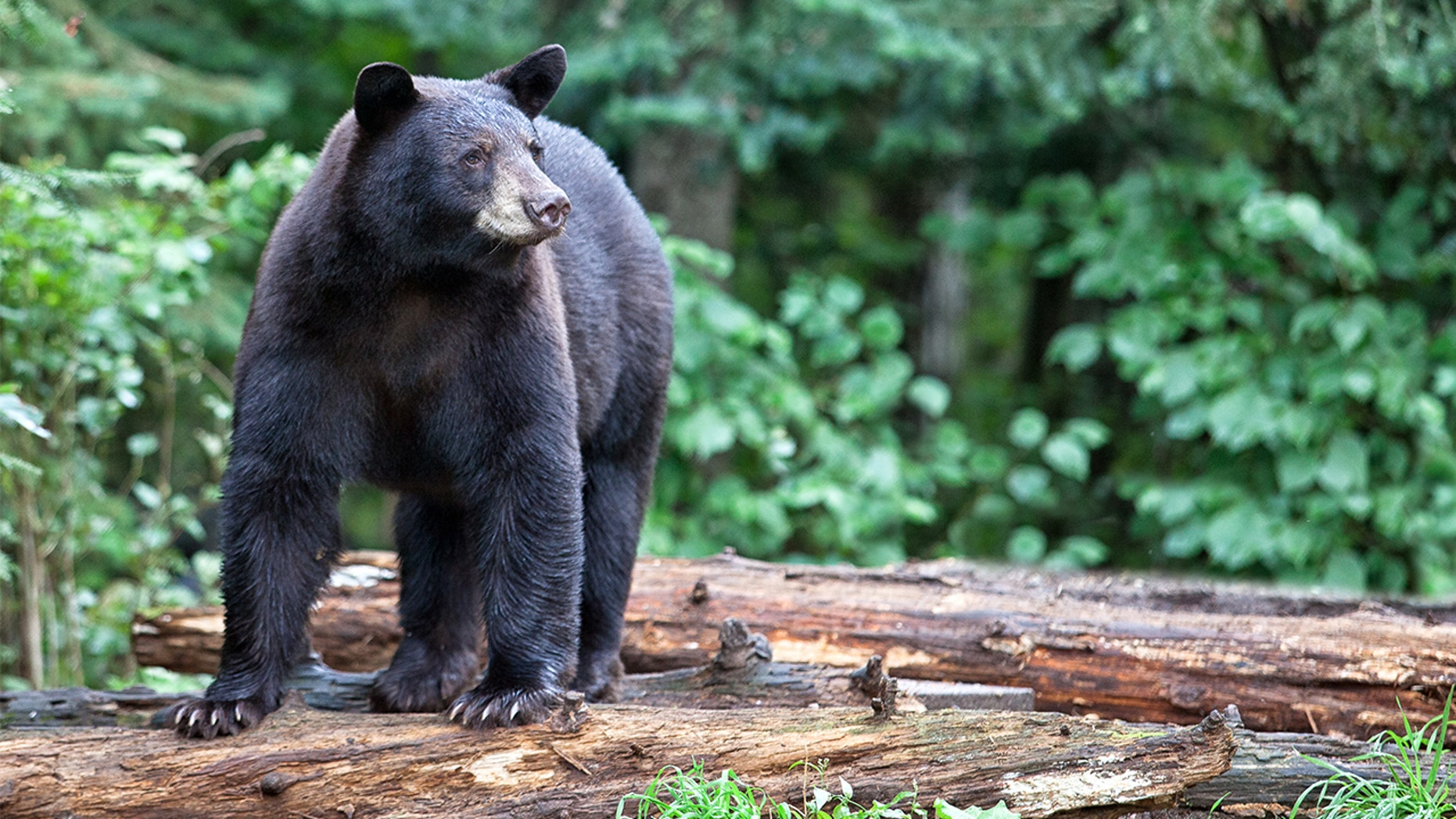 A hunter attacked by a black bear manages to capture it on video