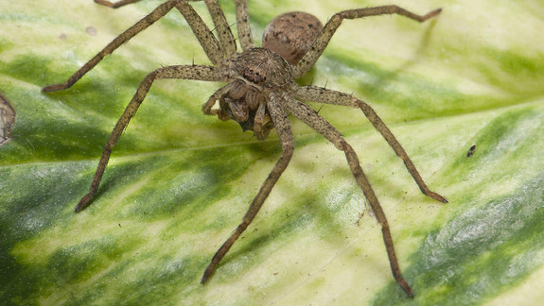 A funnel-web wolf spider, <em>Sosippus californicus</em>. This spider spins a sheet-like web attached to a narrow tube, or funnel. Sitting at the mouth of the tube, the spider waits to strike after feeling vibrations of prey crossing the web.