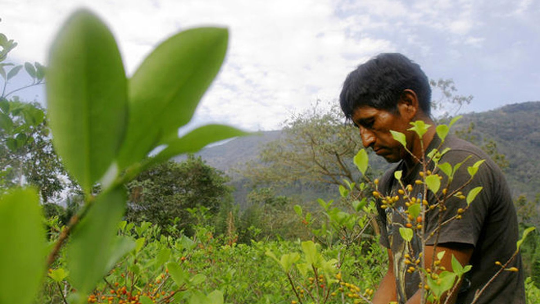 Freddy Pari, 40, picks coca seeds to sell on a street market in the village of La Asunta, some 200 km (124 miles) east of Bolivian capital La Paz. (AP Photo/Dado Galdieri)