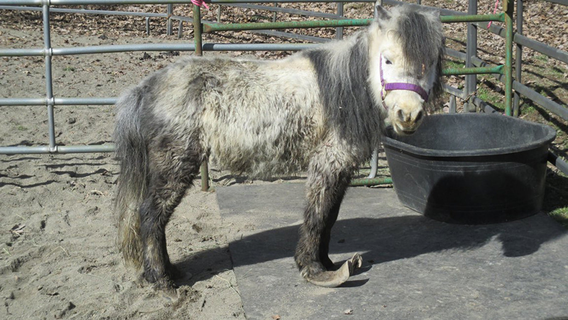 Nearly two dozen miniature horses were among the more than 150 animals rescued from a backyard farm in Washington.