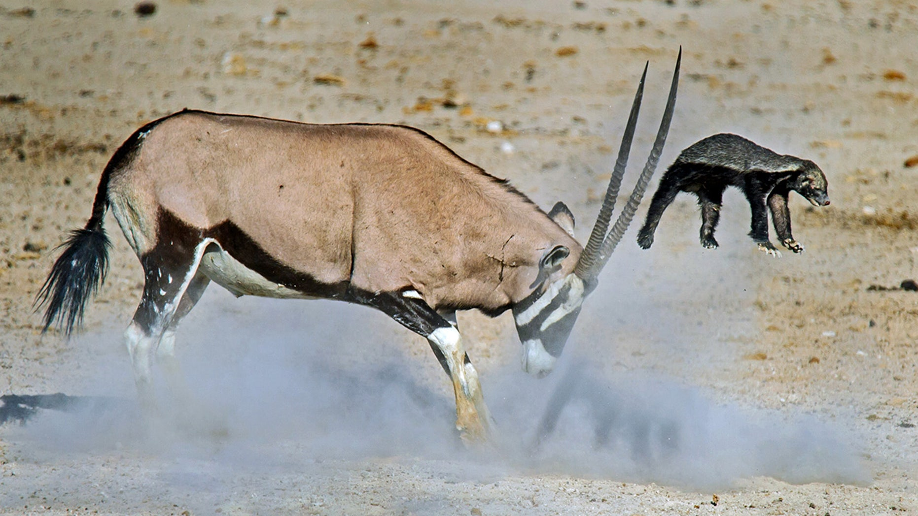 The photographer said the honey badger wouldn't give up the fight until the oryx decided 'enough is enough.'