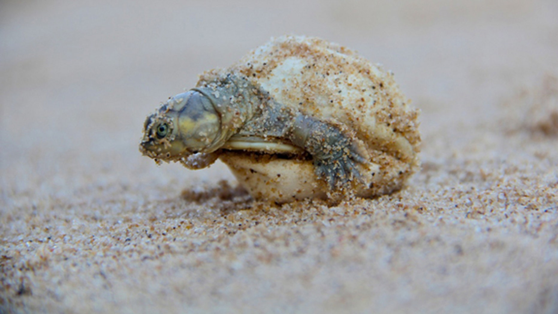 An endangered giant South American river turtle hatchling.
