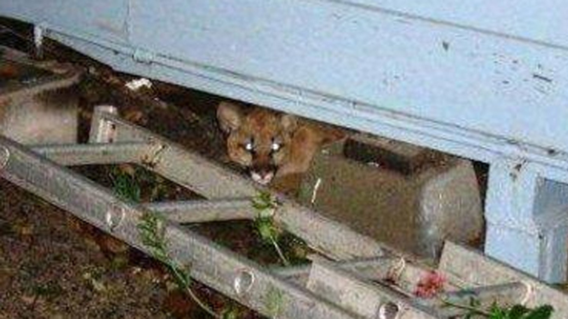A young cougar is seen hiding under a house in Half Moon Bay shortly before it was gunned down by California Department of Fish and Game wardens.