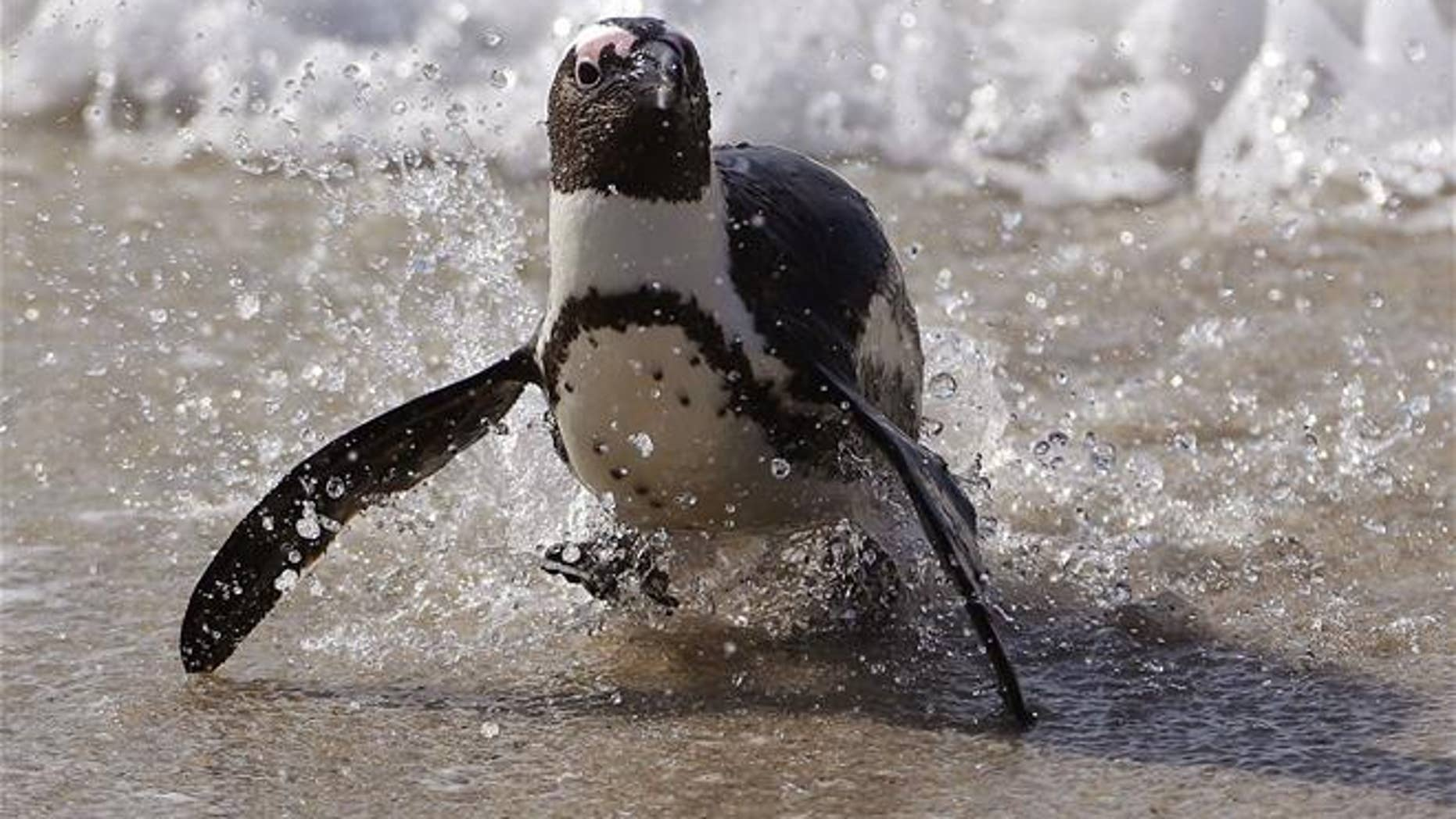 File photo of a penguin, this one in Simon's Town, South Africa.