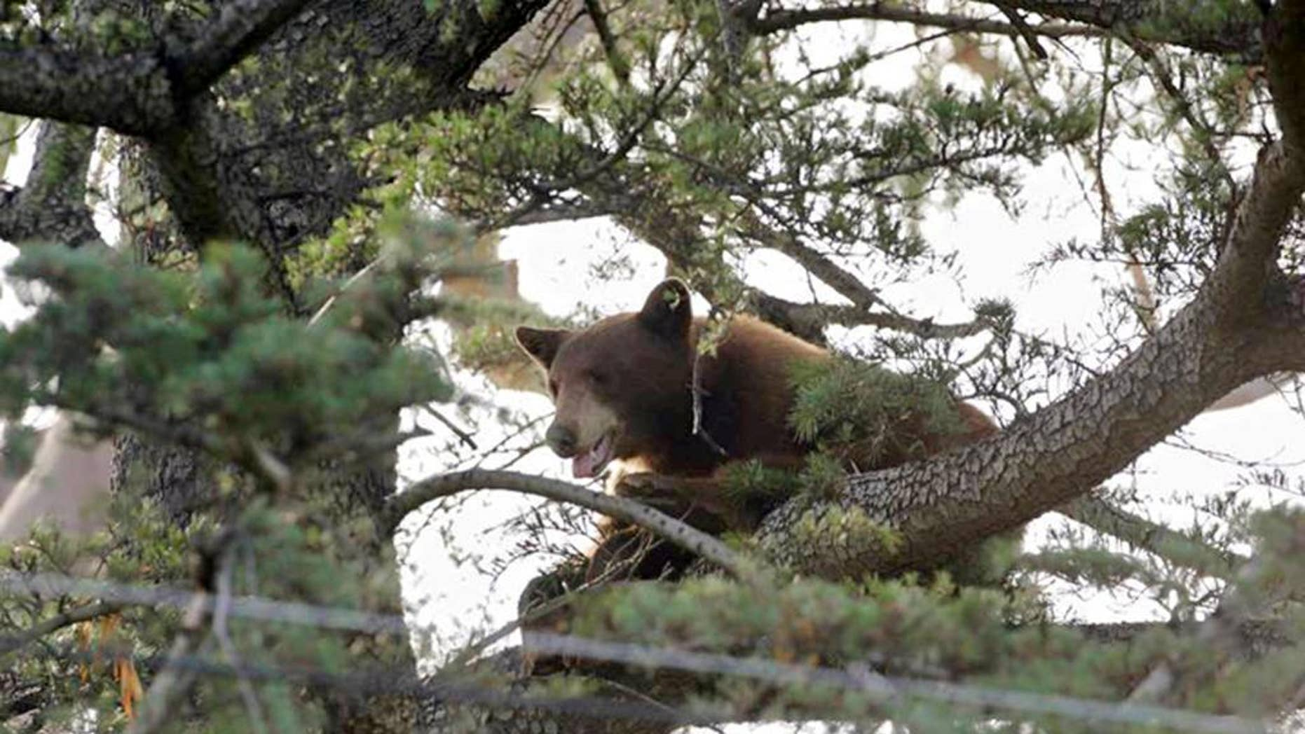 This photo provided by the Rancho Cucamonga Police Department shows a black bear in a tree in Rancho Cucamonga, Calif. on Wednesday, May 18, 2016. Wildlife authorities later tranquilized and captured the bear in Rancho Cucamonga at the foot of the San Gabriel Mountains 40 miles east of Los Angeles. (Rancho Cucamonga Police Department via AP)