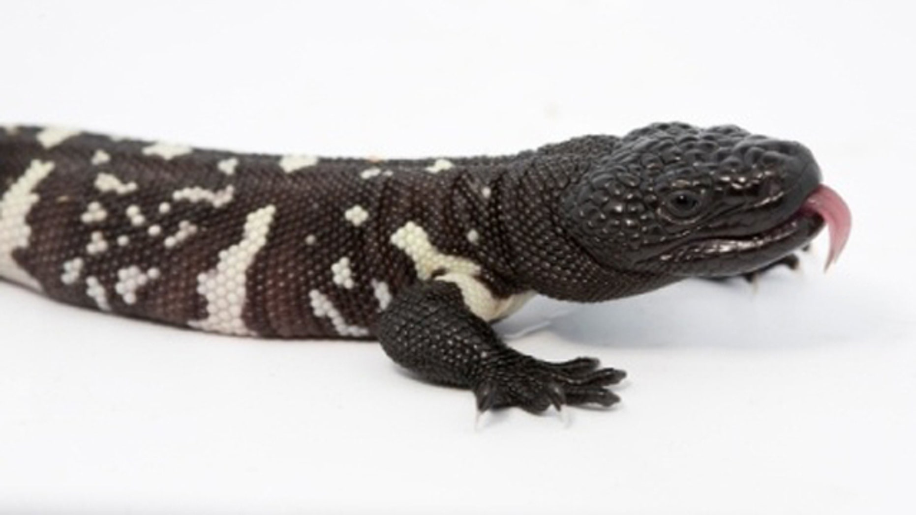This image, obtained by Fox affiliate WAGA-TV, shows the Guatemalan beaded lizard.