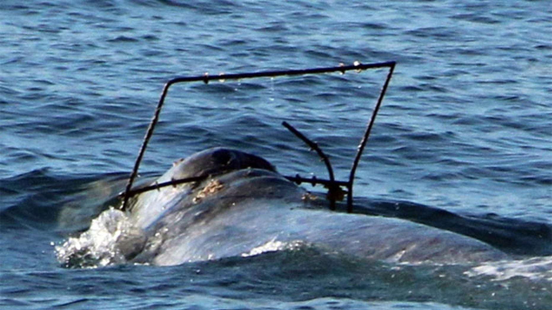 In this photo provided by Capt. Dave's Dolphin and Whale Safari, a gray whale is caught in what appears to be some kind of frame off the coast at Dana Point, Calif.